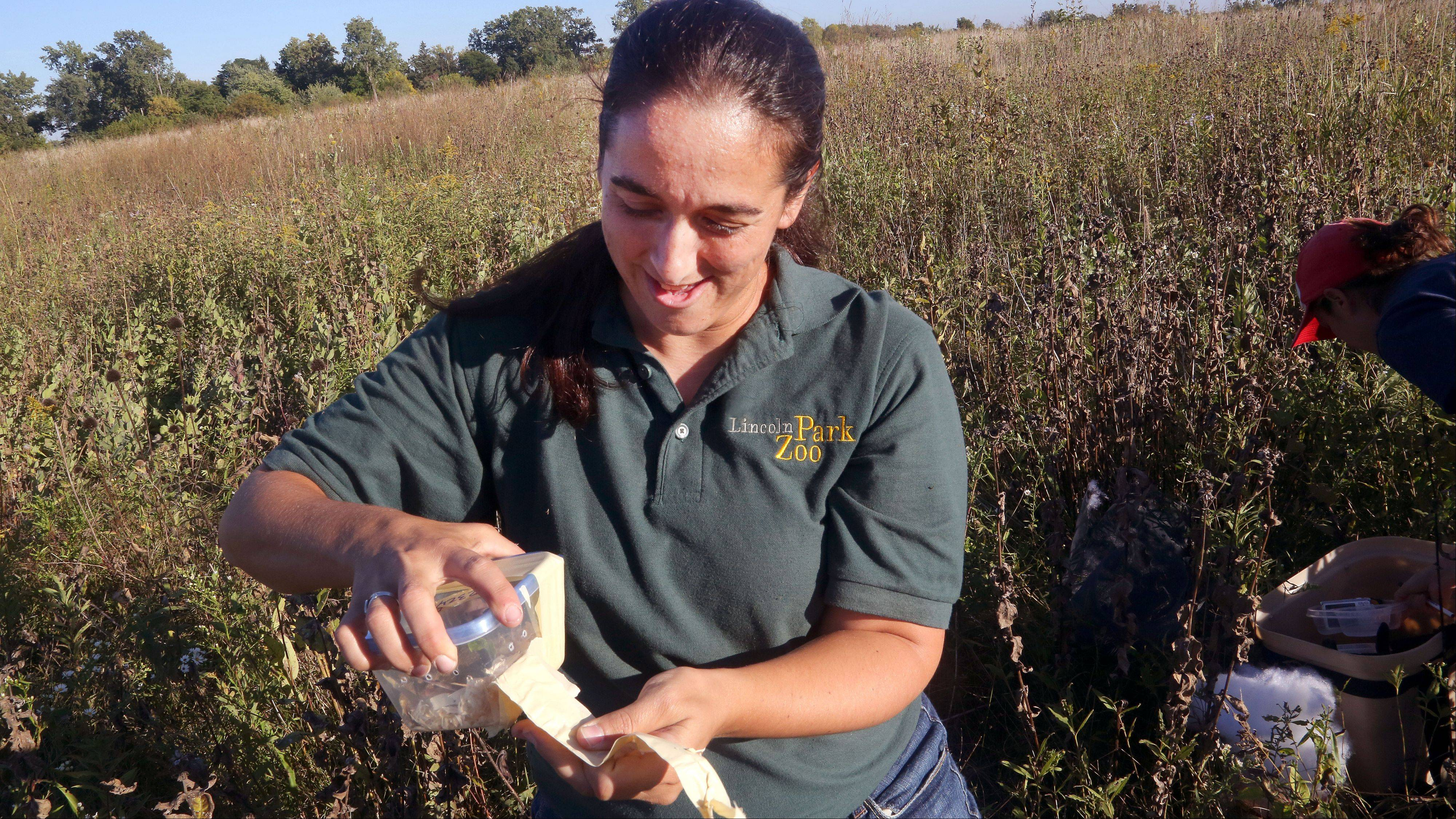 Lincoln Park Zoo reintroduction biologist Allison Sacerdote-Velat gets ready to release a meadow jumping mouse as biologists in cooperation with Lake County Forest Preserve District work to restore their population at the Rollins Savanna Forest Preserve near Grayslake.