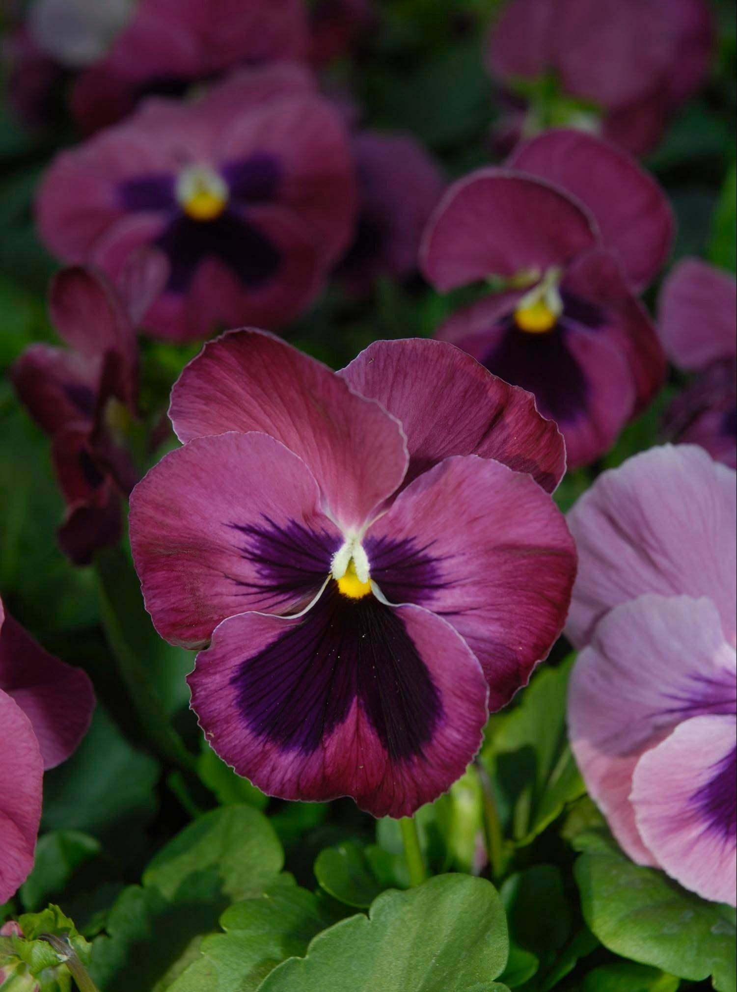 Shopping tip for pansies: Buy large plants in full flower. Pansies will not develop much in the autumn season.