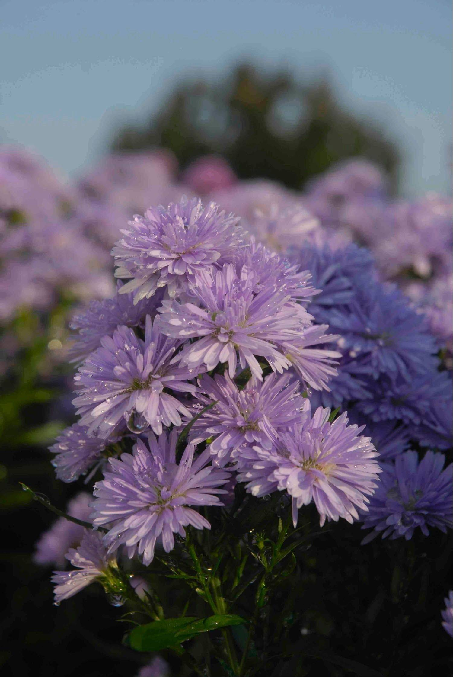 Asters, like mums, will last for 4-6 weeks, depending on the weather.