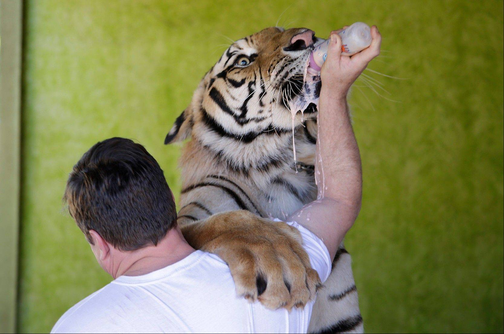 Ary Borges feeds his tiger named Dan at his home Thursday in Maringa, Brazil.