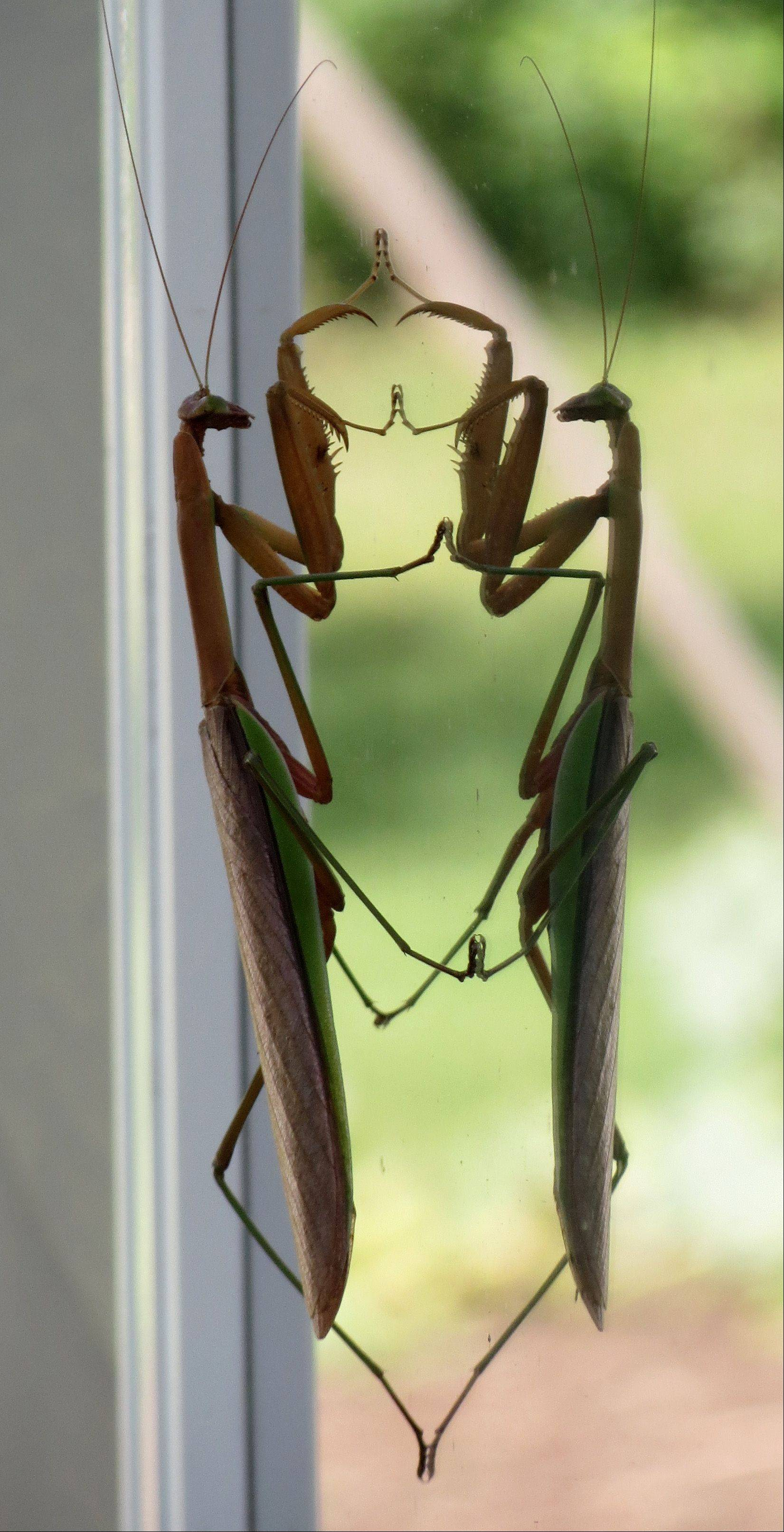 I found this Praying Mantis on our window looking at itself! It was moving its legs up and down and moving its body back and forth while watching its image do the same!