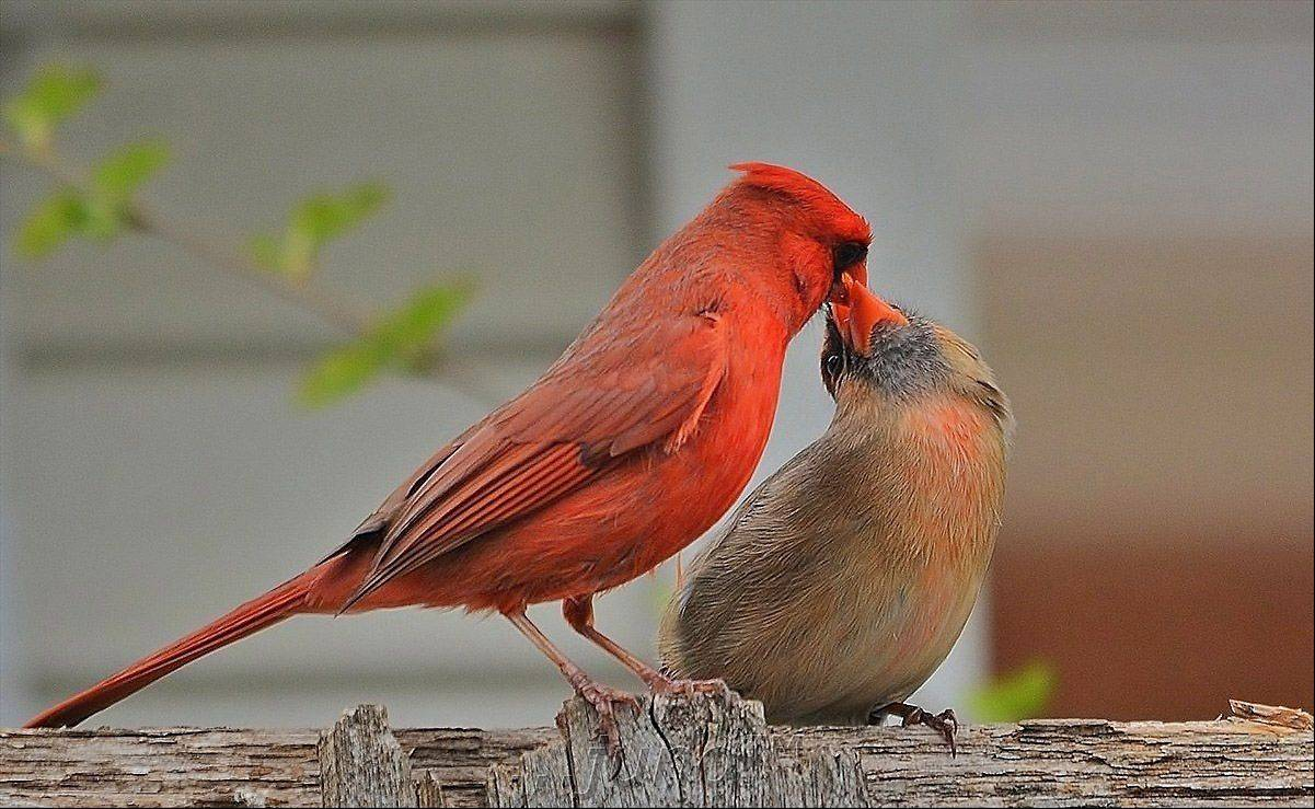 "A male cardinal gives food to the female and it looks like they are kissing ""lips to lips"" in Wheeling on May 9th."