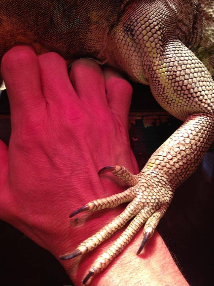 Rich Maisel's hand is gently embraced by Henry, the green iguana, and his formidable biceps and razor-sharp claws at their home in Mettawa.