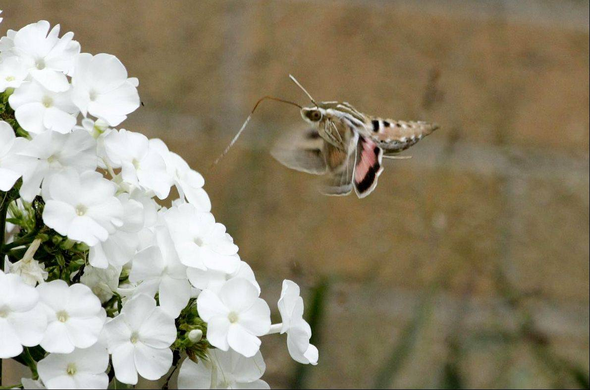 Here's a moth, shown sucking nectar from a flower. I took this photo in my backyard. The complete name of the moth is the white lined sphinx moth.