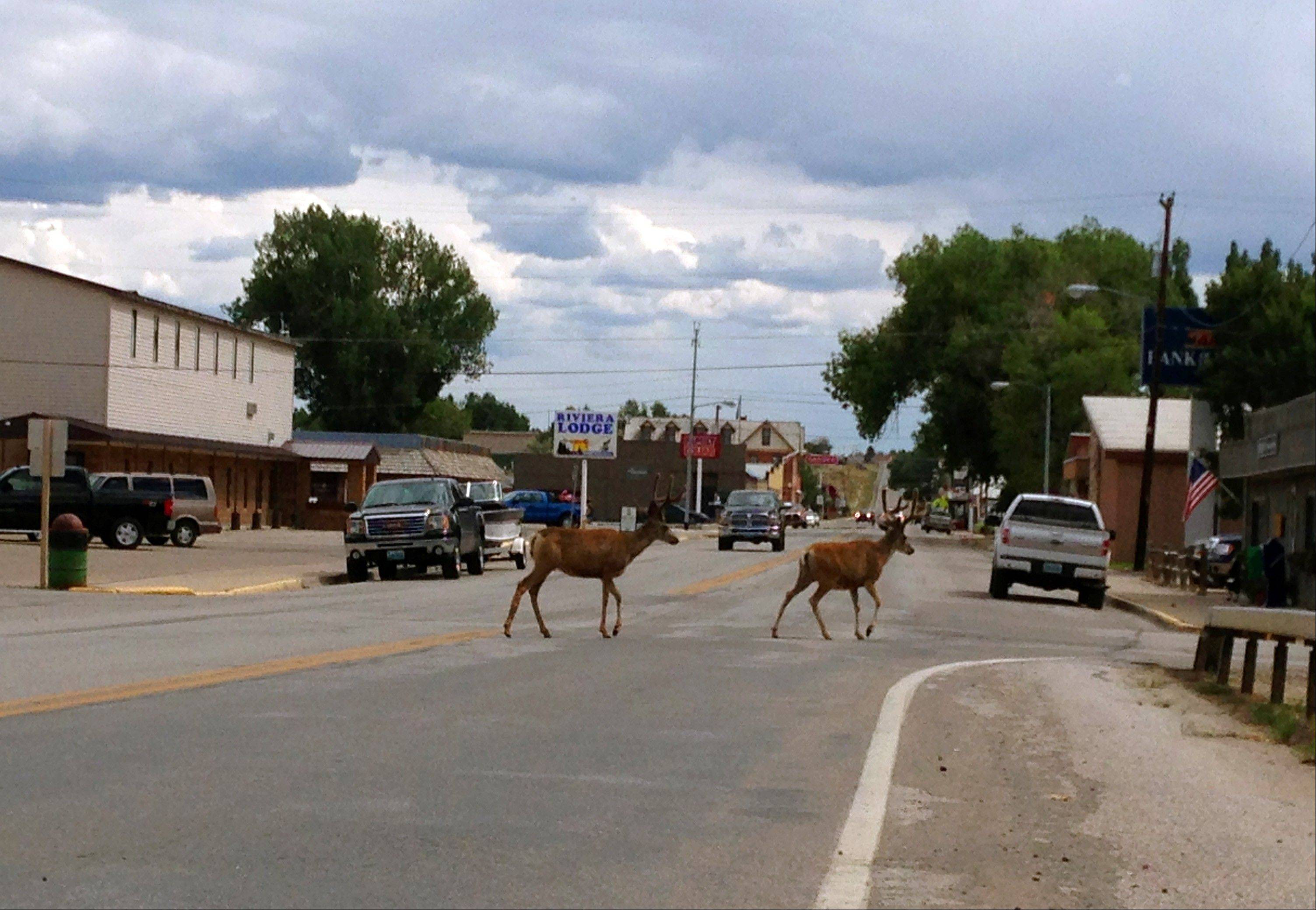 A deer crosses the street in downtown Saratoga, Wyo.