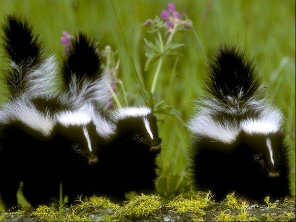 Skunks are a huge problem in Wheeling, village officials reported Monday.