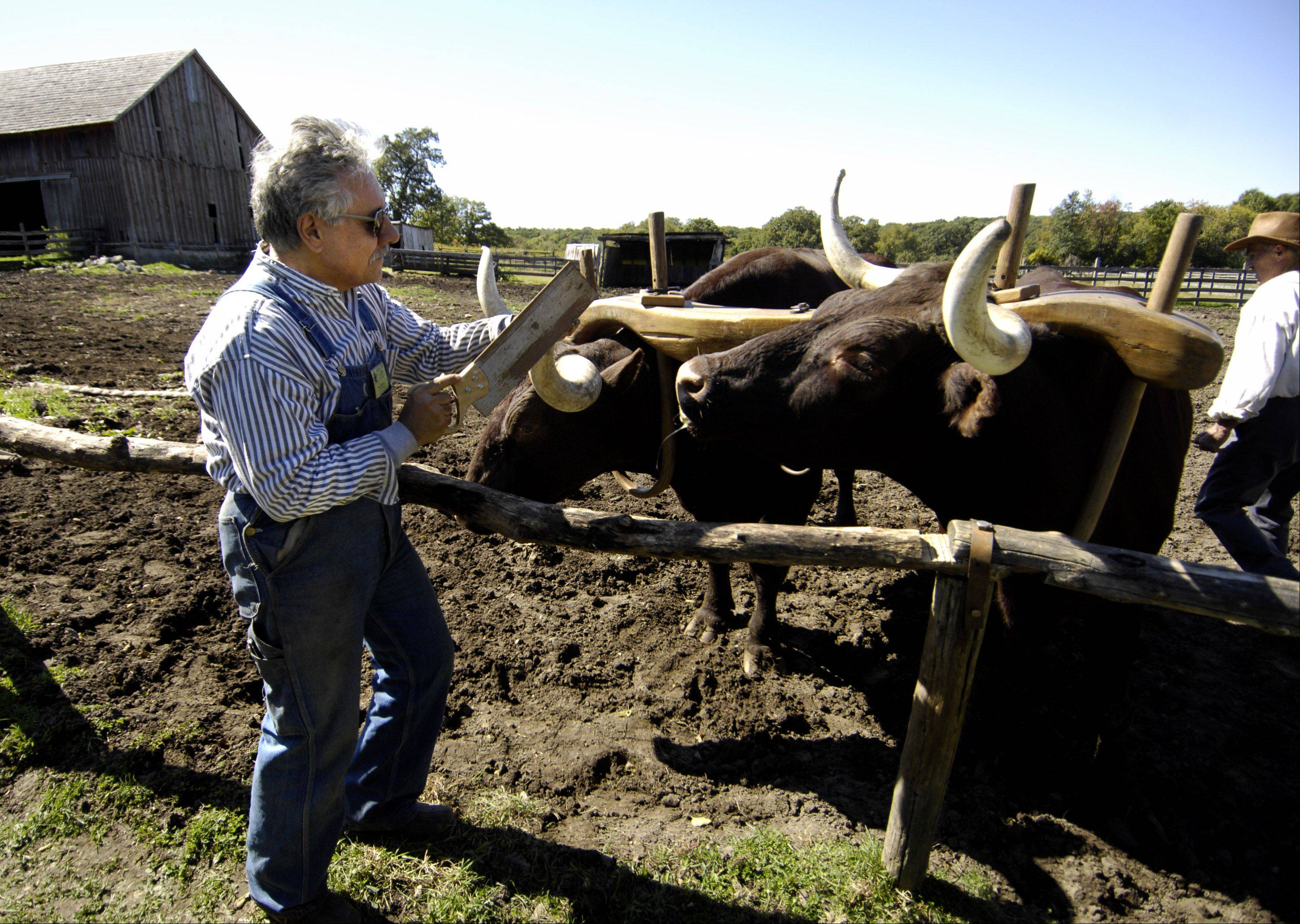 Jack Saccoia saws off the horn tip of Doc, a 14-year-old oxen, at Garfield Farm Museum 30th annual Harvest Days. Saccoia, a volunteer exhibitor at the farm, was preparing the animal for a new round brass end fitting to help protect the horn and other animals.