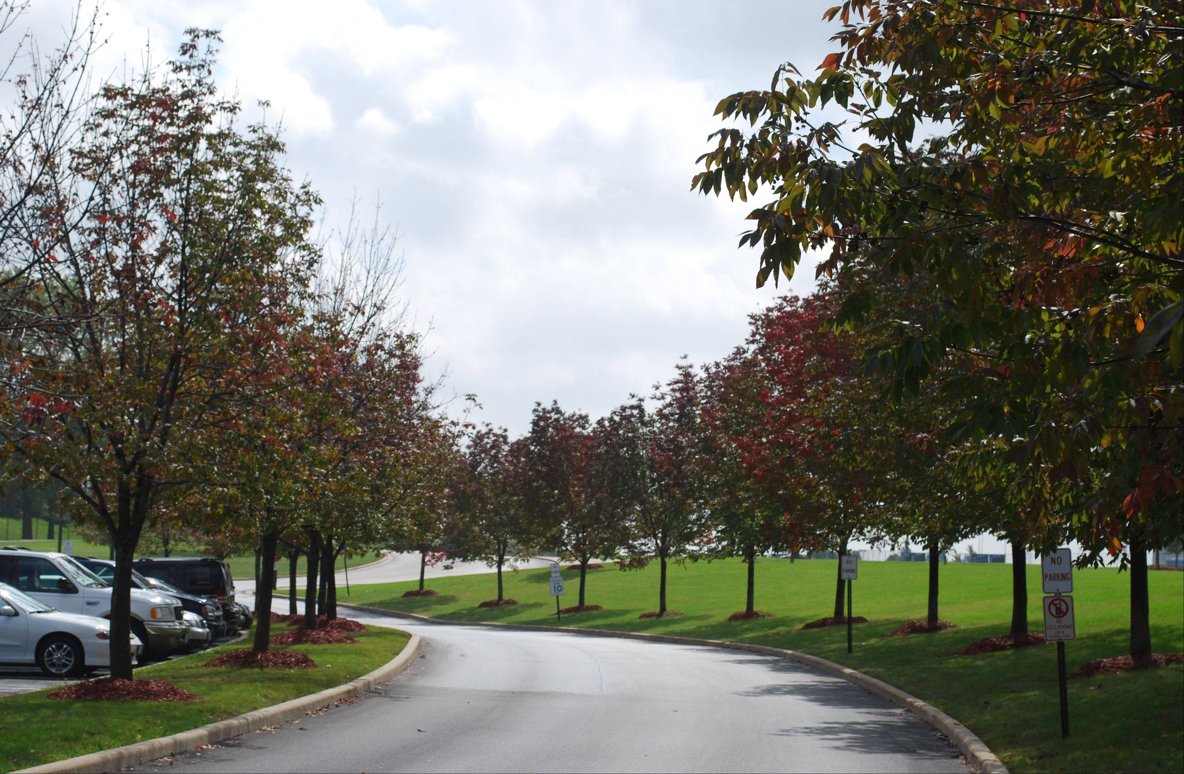 The scenic tree-lined main drive to Vernon Hills High School will be wiped out Saturday as the school takes out 45 trees infested with the emerald ash borer.
