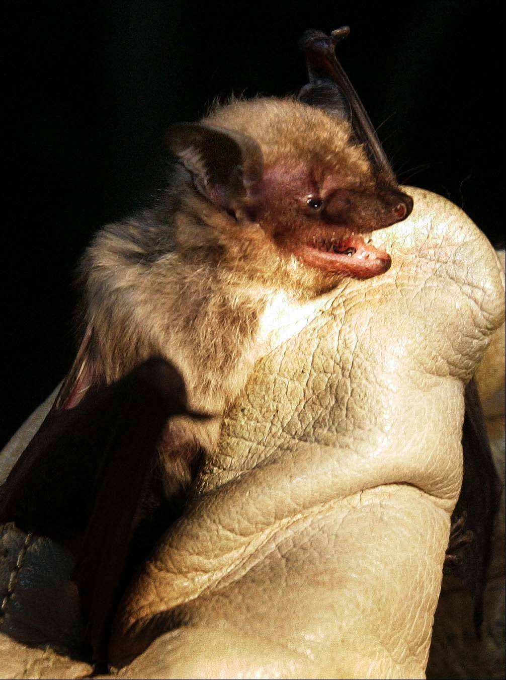A brown bat is one of the types found in the Chicago suburbs.