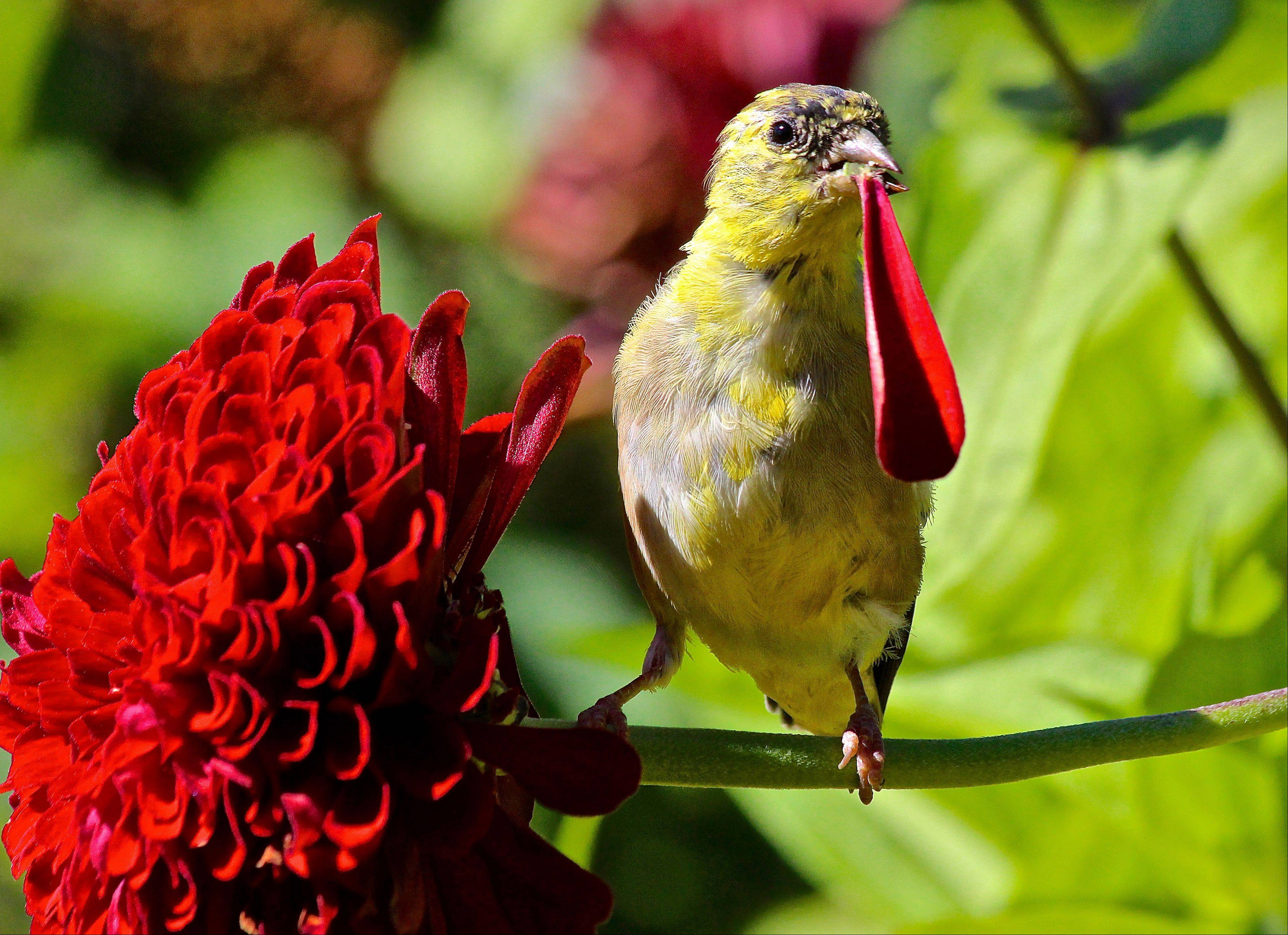 A bright yellow Gold Finch pulls off red zinnia petals at the Chicago Botanic Garden in Glencoe.
