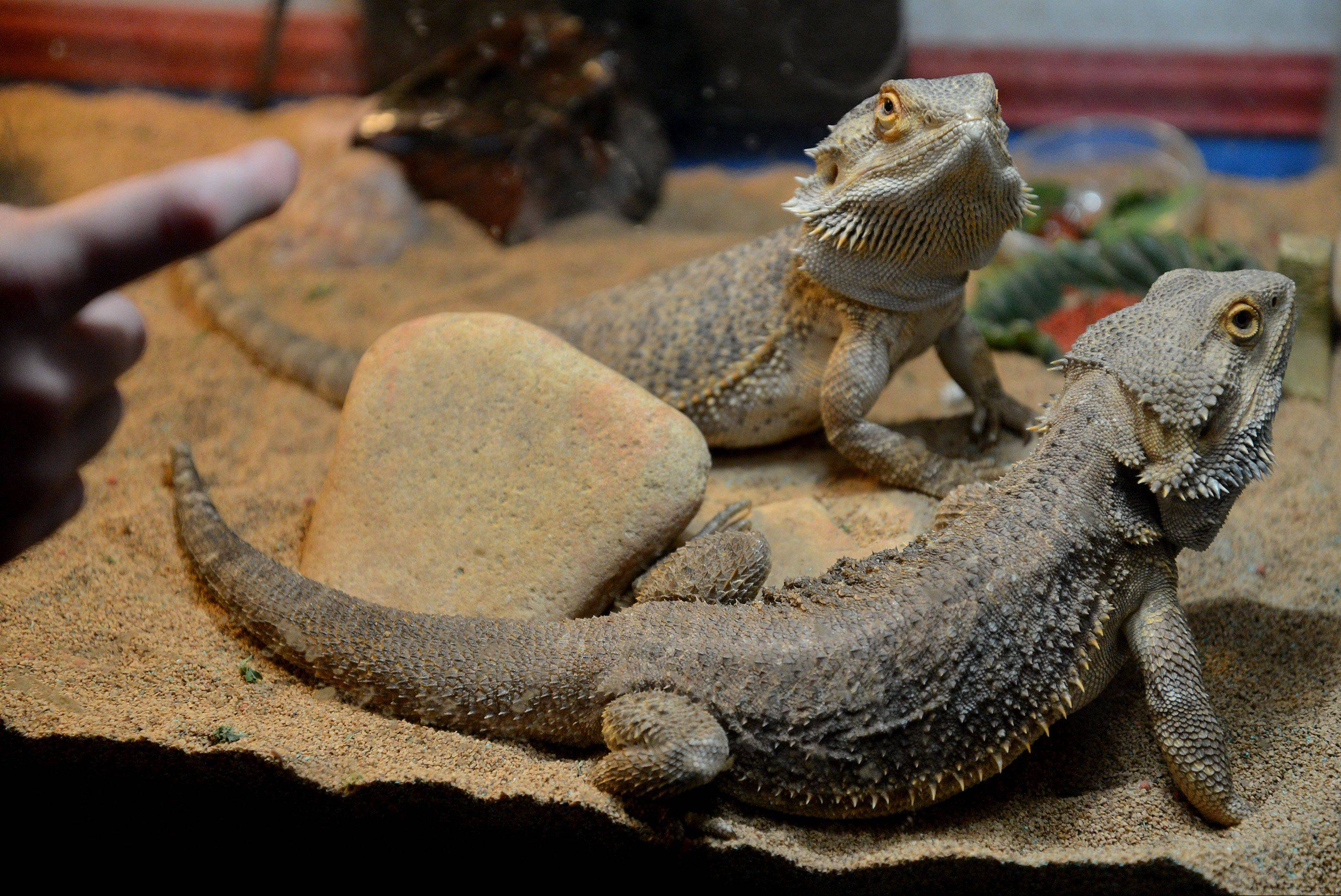 Henry Gabriel's 1 1/2-year-old bearded dragons Lenerd and Gabriel.