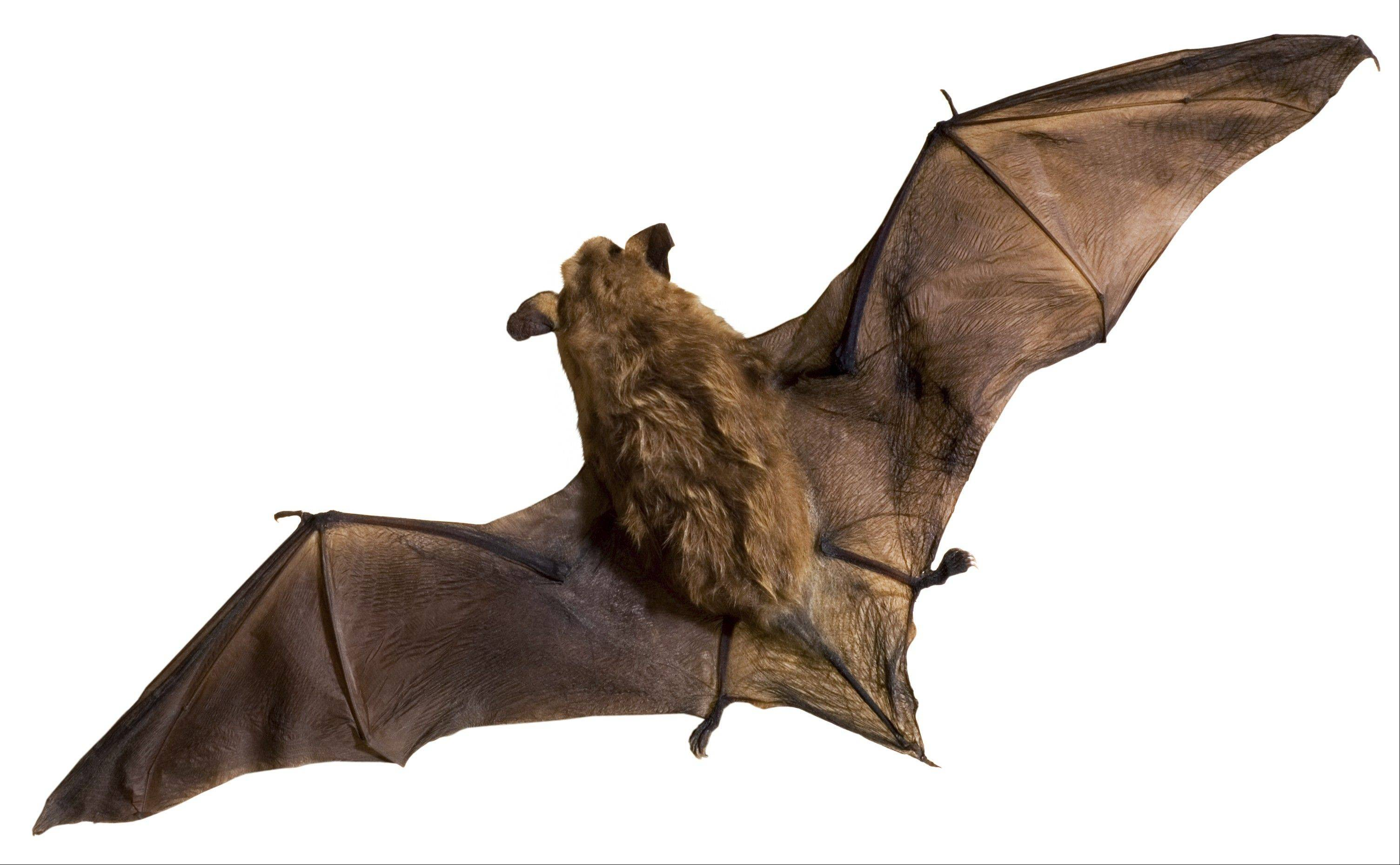 Although some people fear bats, they are actually beneficial to humans by eating large quantities of insects.