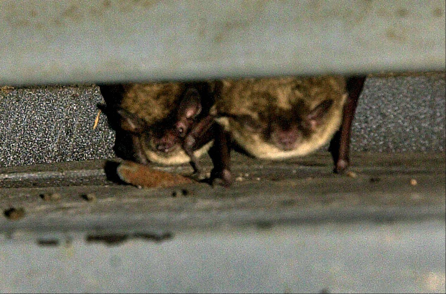 Two little brown bats hang out in the bat shelter at Lakewood Forest Preserve near Wauconda.