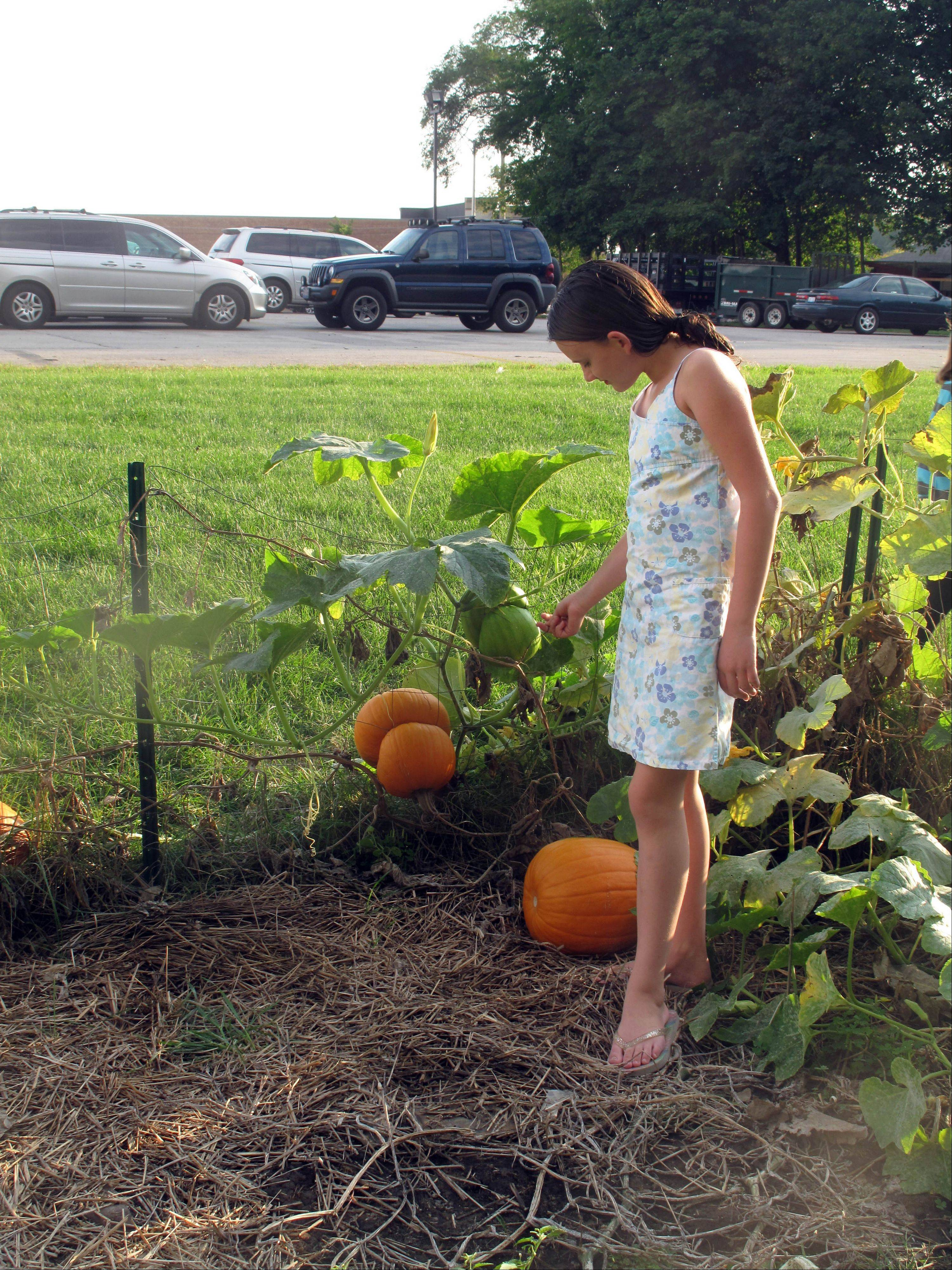 Anna Arriola, a fifth-grader at Beebe Elementary School in Naperville, points out a pumpkin growing around a fence Thursday during a harvest day celebration at the school's new garden.