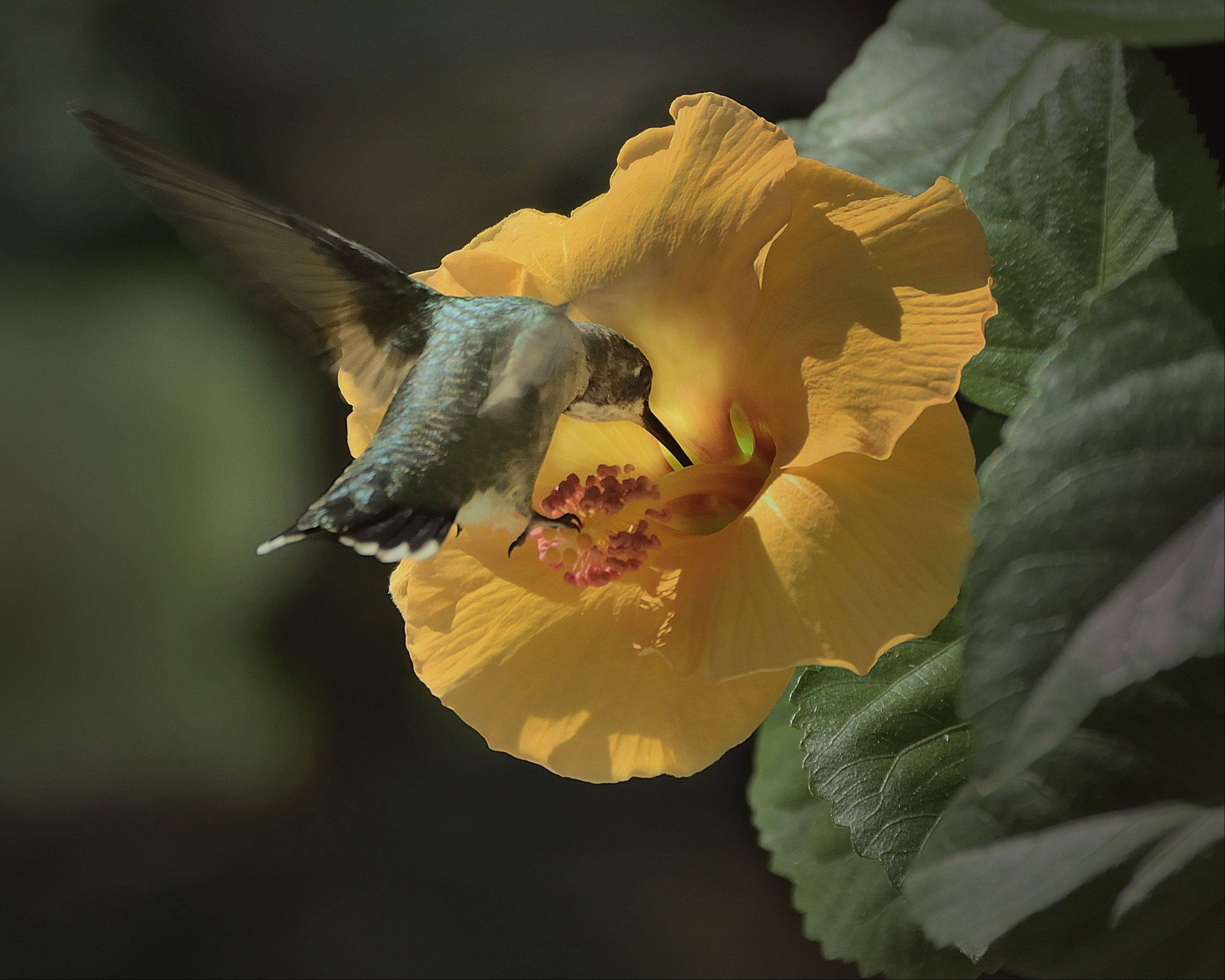 Our Hibiscus held off on blooming until last week when it produced seven blooms on that particular day. Just as I was getting ready to go out and take a few shots of the flowers this hummingbird showed up and touched upon 5 of the flowers.