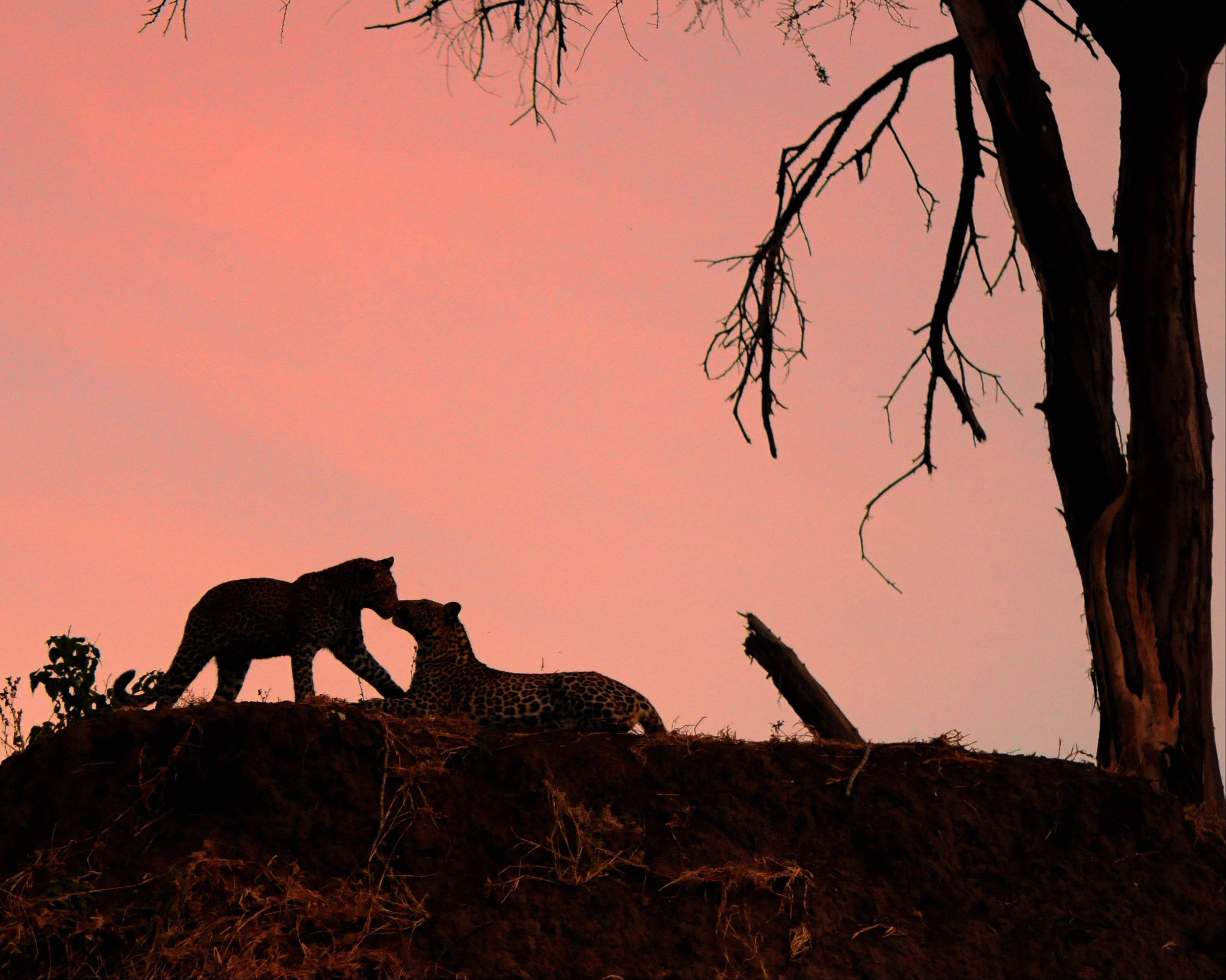 Two young leopards touch noses high up on a river bank at dusk this summer in Mashatu, Botswana.
