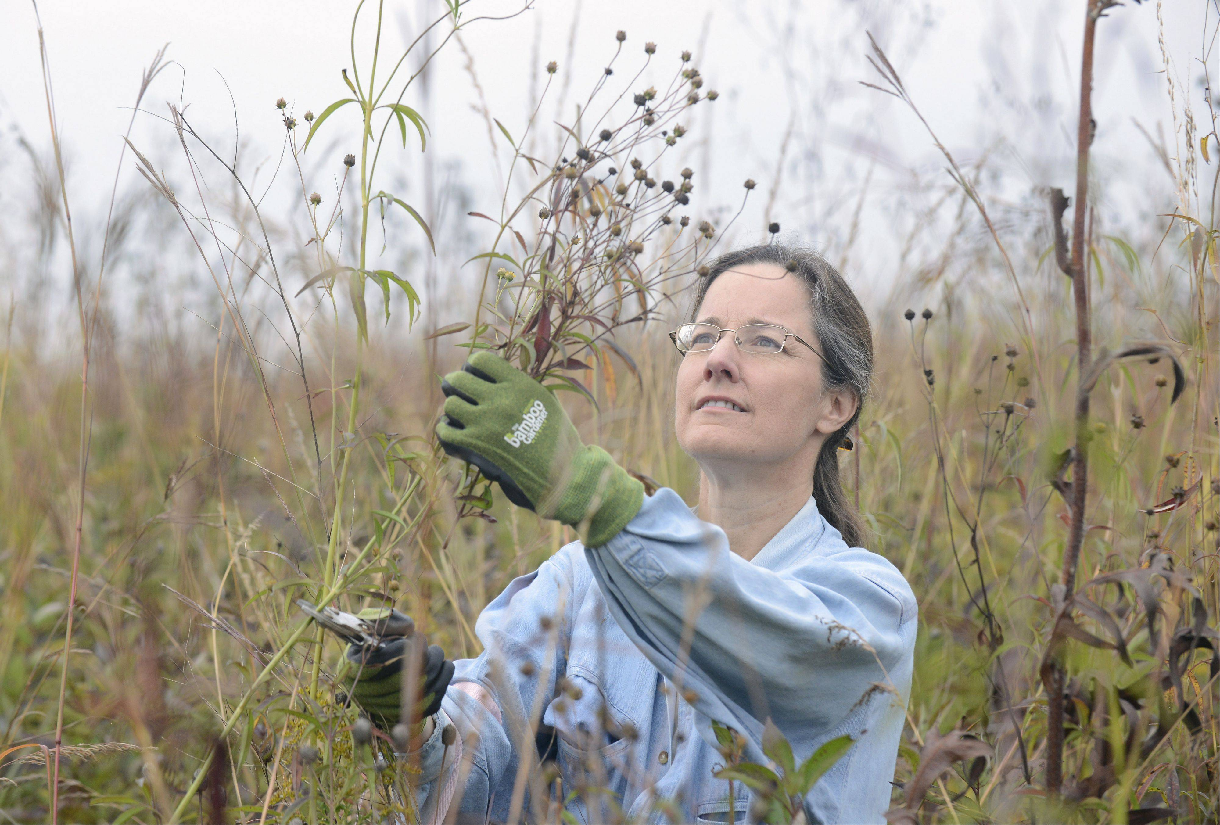 Betsy Zinser of Batavia collects tall coreopsis seed pods at Fermilab's annual prairie seed harvest of the Robert F. Betz Prairie Saturday. This is Zinser's first time helping at the event. She is also on the board of Fermilab Natural Areas, a not-for-profit group dedicated to taking care of the natural areas at Fermilab. Typically, about 200 people show up to volunteer.
