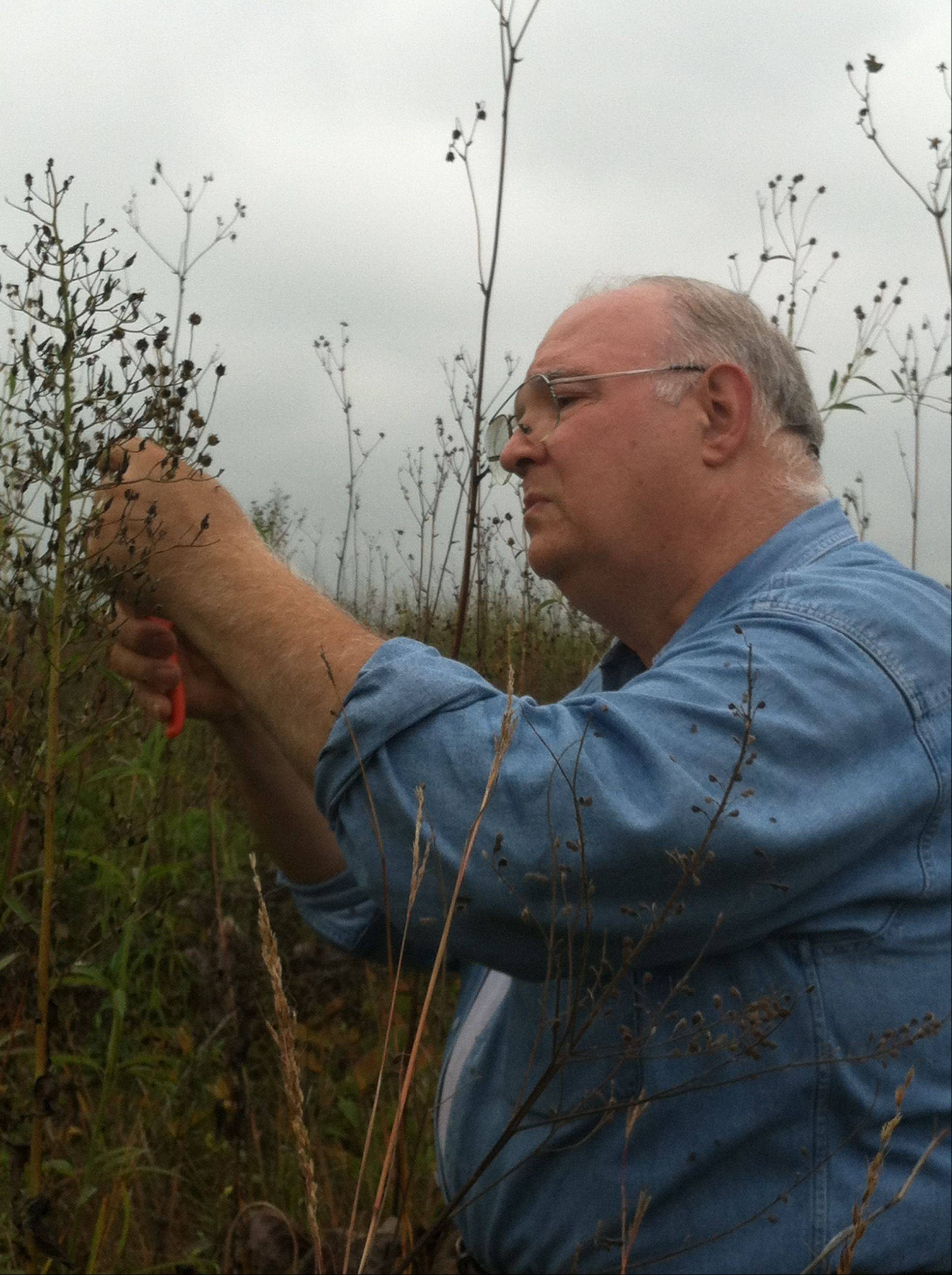 Paul Conterato, 61, of Geneva, collects tall coreopsis Saturday during Fermi Lab's seed harvest. The seeds will be used to diversify plantings throughout the property's prairies.