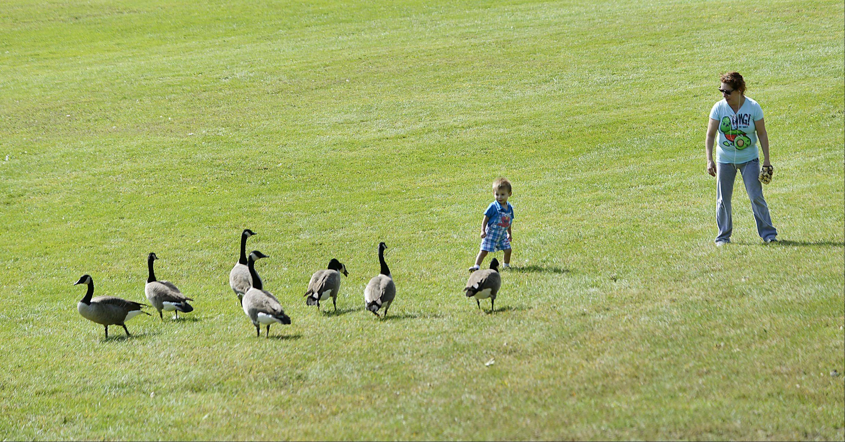 As Eva Torres watches closely, her 22-month-old grandson Jaden, backs away from a gaggle of hissing geese in Veterans Park in Cary Monday afternoon.