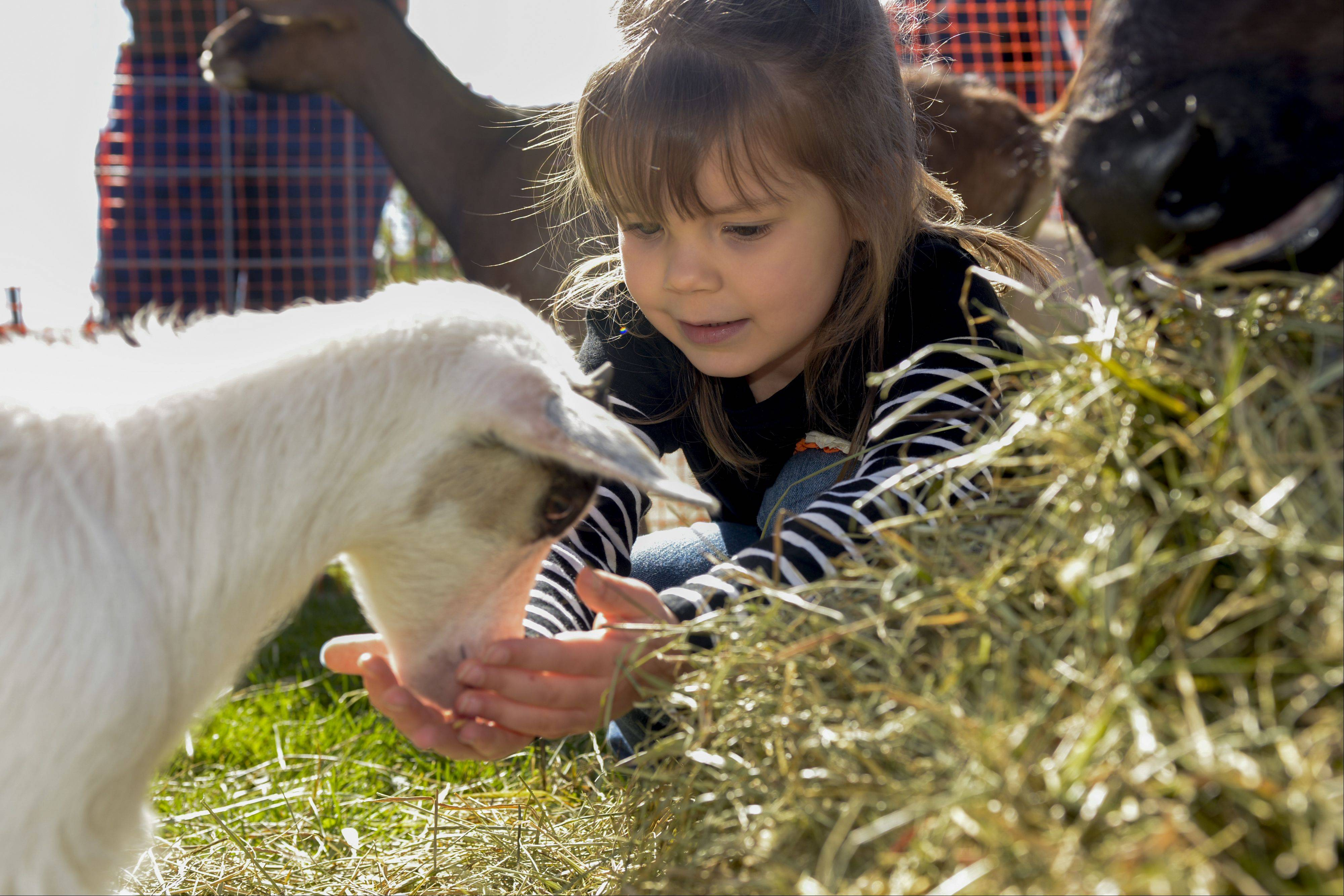 Leah Stiles, 4, of Grayslake feeds a baby goat Sunday while visiting the Bonner Heritage Farm's Country Fair in Lindenhurst. The event featured wagon rides, crafts, games and a petting zoo on an 1842 farm.
