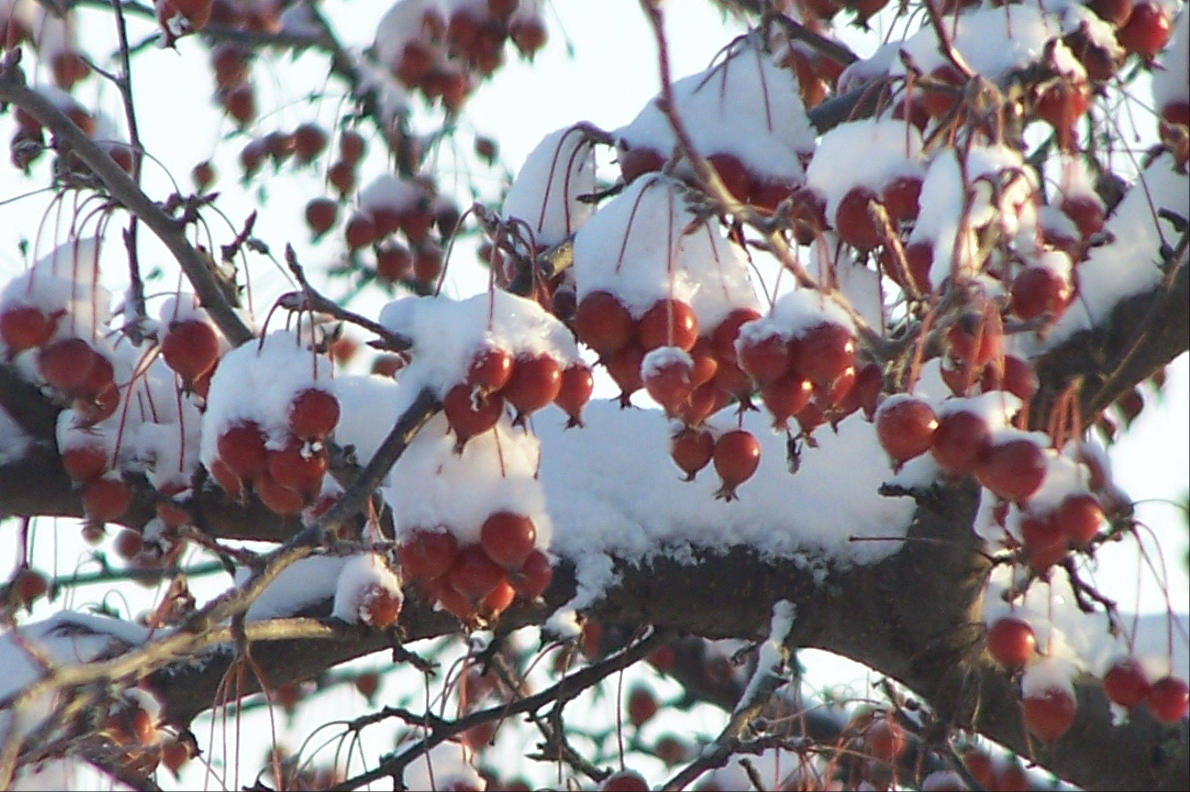 Crabapples add color to the winter landscape even when covered with snow.