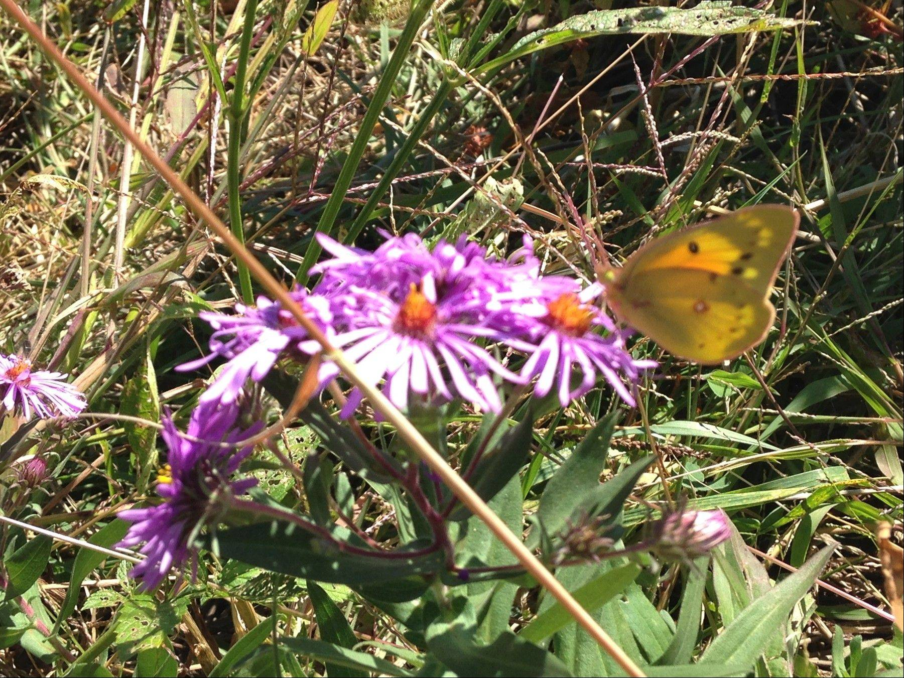 A butterfly gathers nectar from a New England aster, one of many native plants Fox Valley Park District crews and volunteers utilize in prairie restoration efforts throughout the district to expand natural areas, ecosystems and wildlife habitat.
