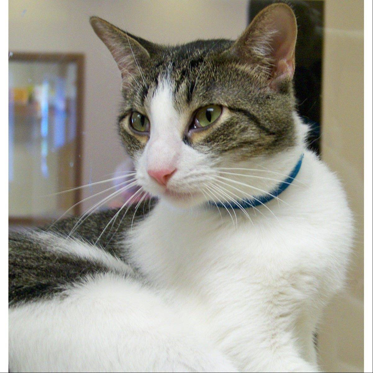 Sly is a very sweet and handsome 6-year-old, domestic shorthair, gray, tabby cat. He loves people and is a lap cat who loves to be petted. He is waiting for you to take him home. Sly is best friends with Rascal and plays well with other cats.