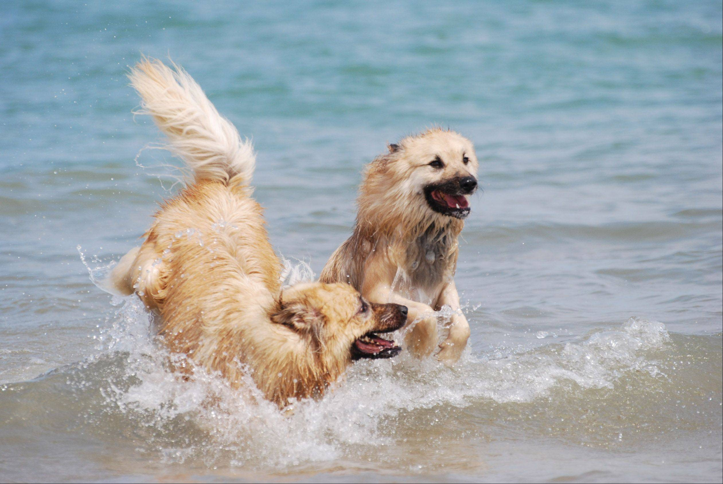 Theo and Hoagi enjoy the cool water of Lake Michigan on a hot day last summer.
