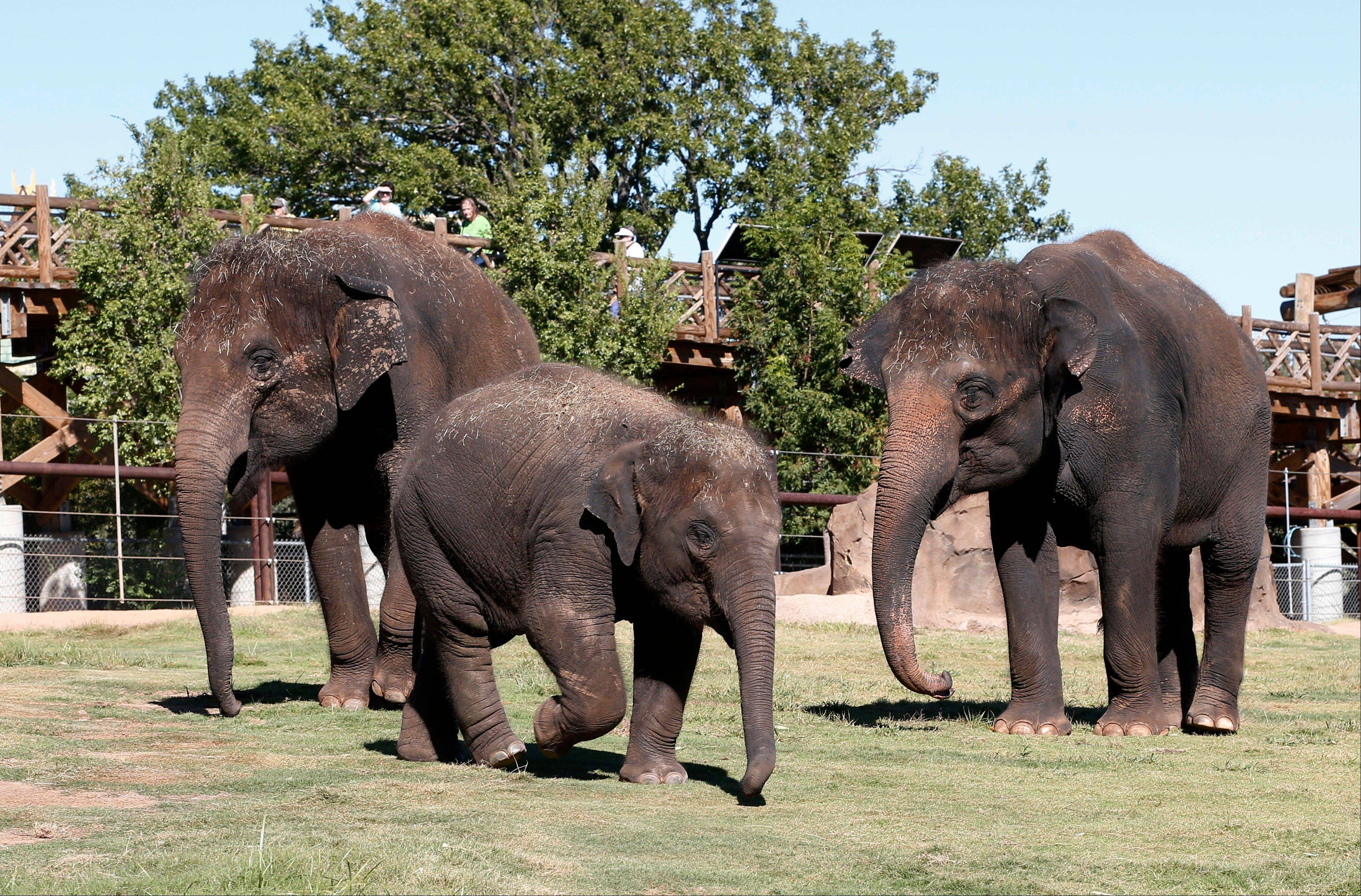 Three Asian elephants, Chandra, left, Malee, center, and Asha, right, walk through their enclosure Tuesday in the Oklahoma City Zoo in Oklahoma City. An aggressive elephant at the Springfield Zoo killed a caretaker on Friday.