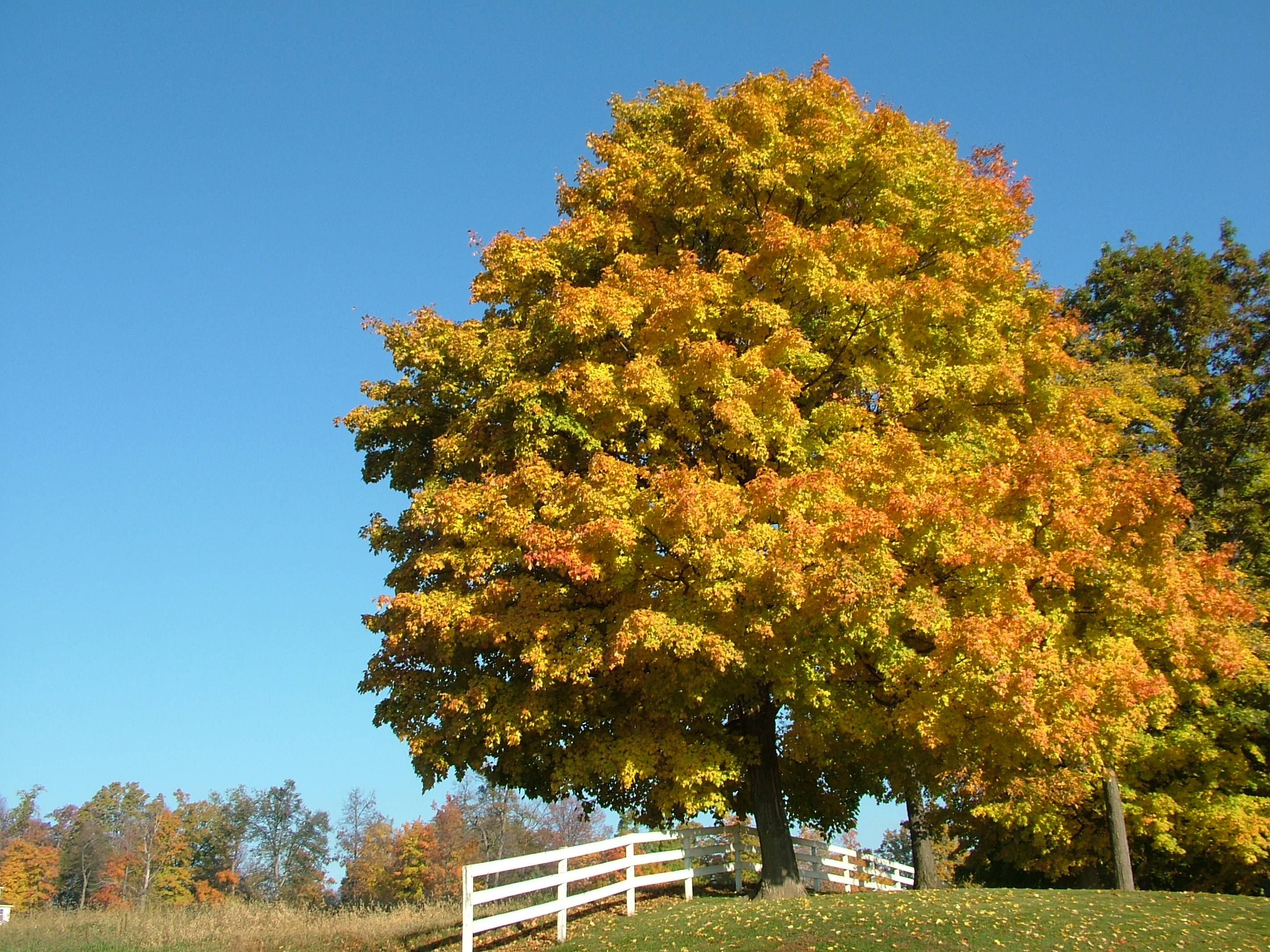 The Sugar maple is the quintessential tree for fall color.