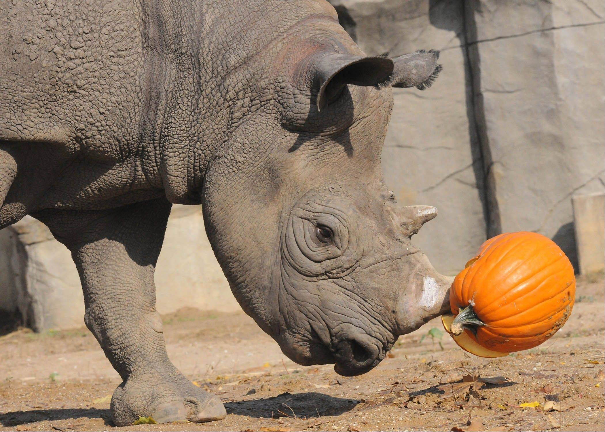 A rhino enjoys a Halloween treat during the Brookfield Zoo's annual Boo! at the Zoo Oct. 19-20 and Oct. 26-27.
