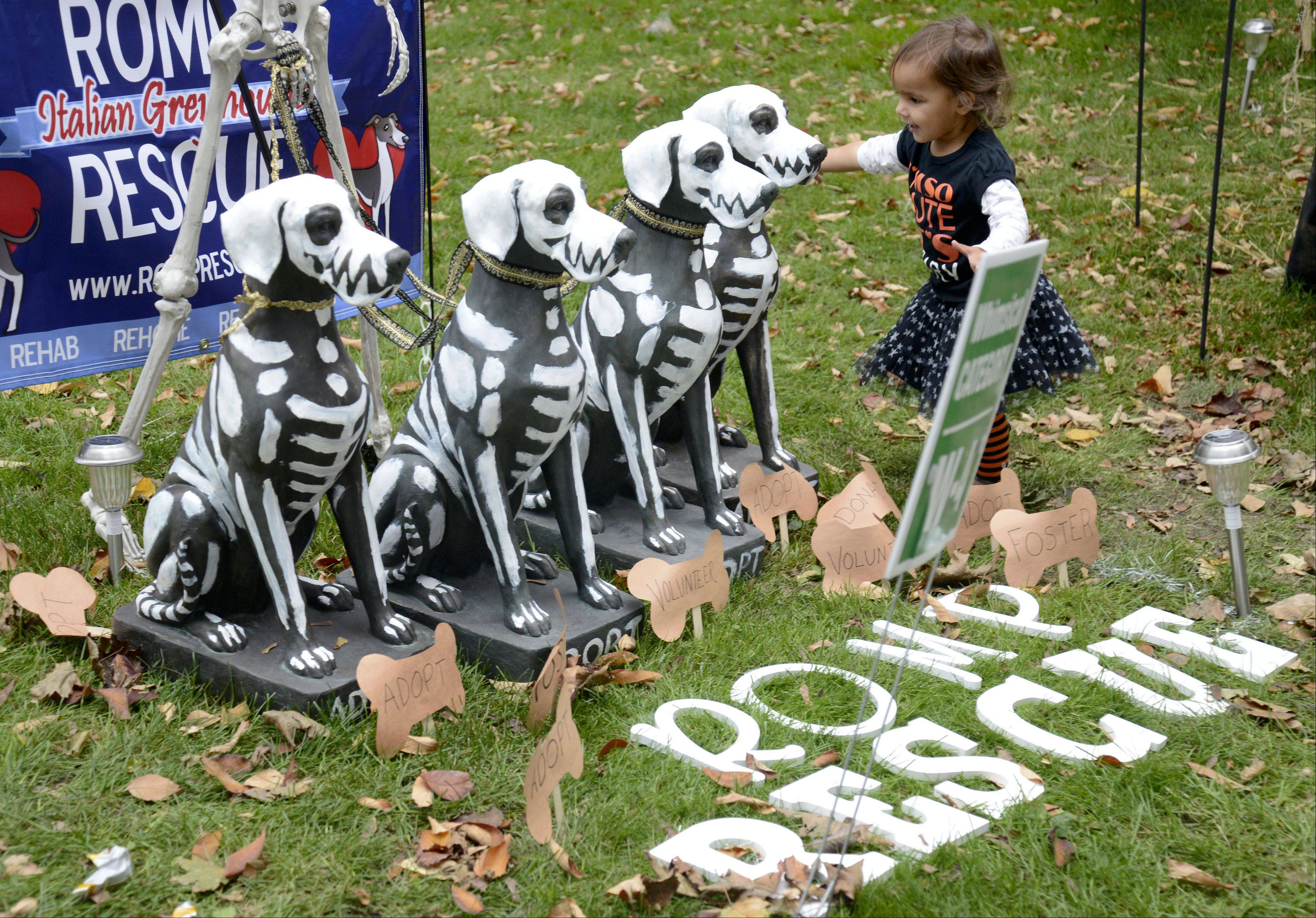 Sonali Singh, 2, of Lombard gets a closer look at the entry by ROMP Italian Greyhound Rescue of Chicago at the Scarecrow Fest in St. Charles' Lincoln Park on Saturday/ The Singh family comes to the event every few years.