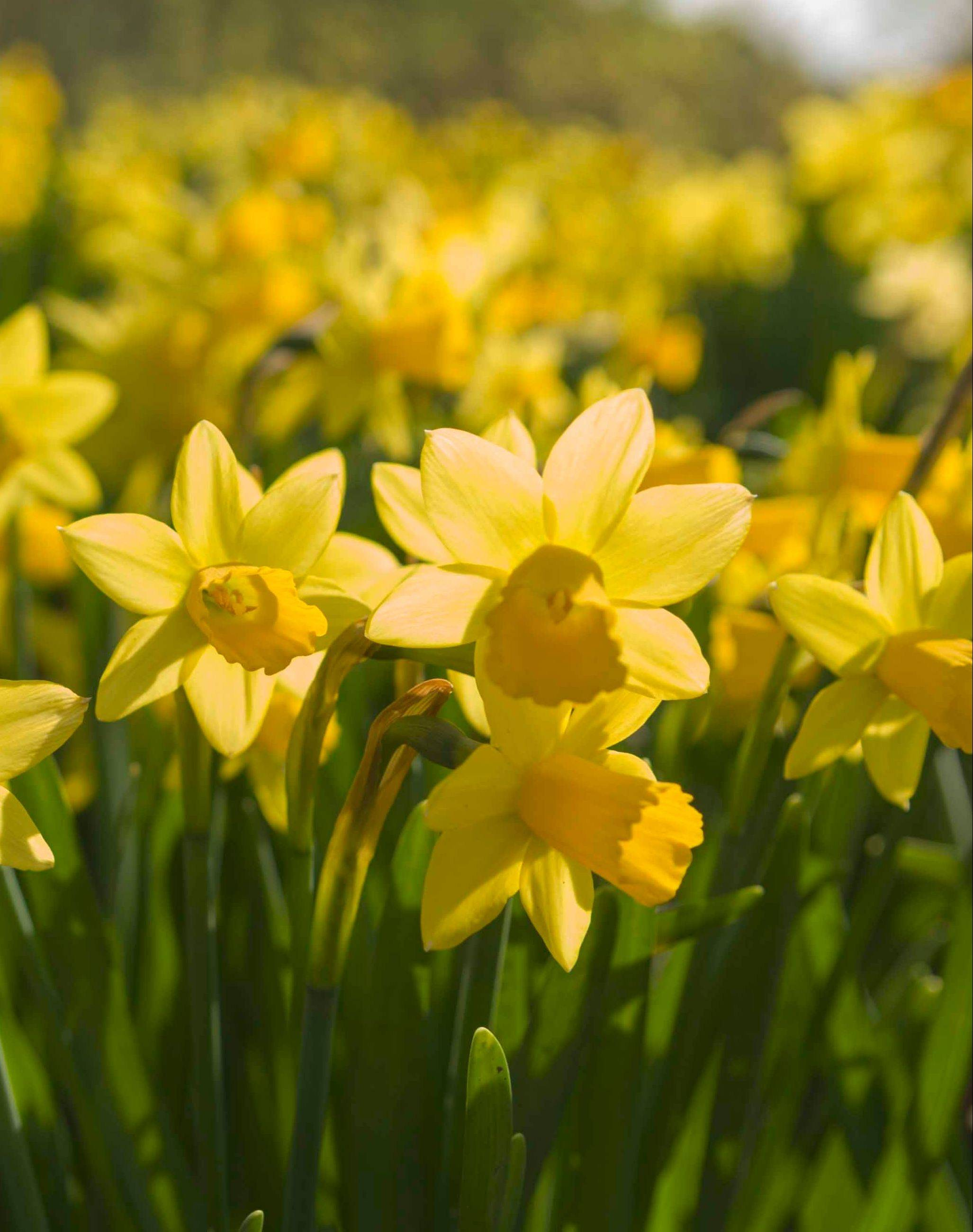 Daffodils naturalize beautifully and are available in many sizes and bloom times