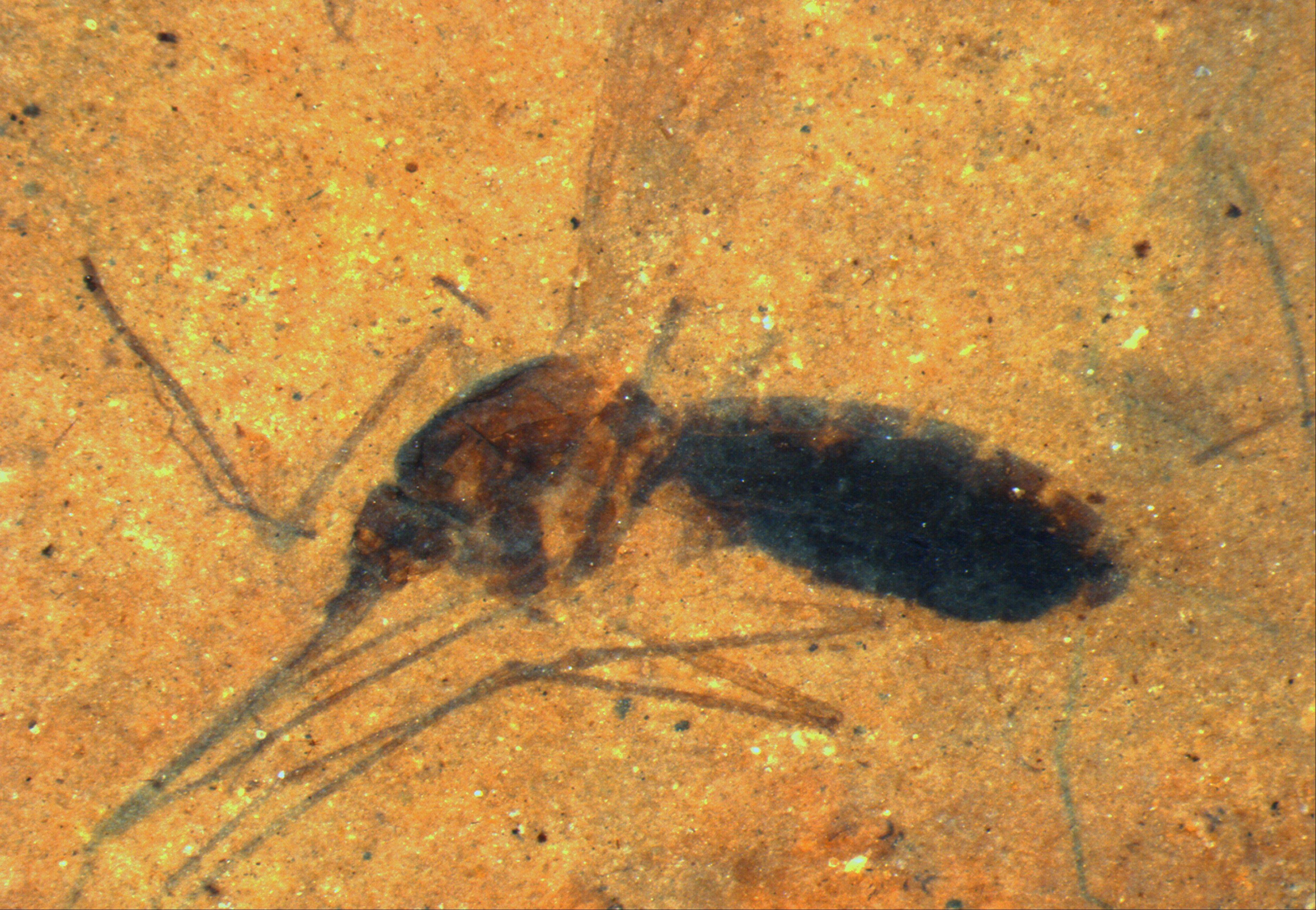 This image provided by the Smithsonian Institution shows a fossilized female mosquito in a paper-thin piece of shale. The 46 million year-old insect drew blood in its last meal, was blown into a lake in what is now northwestern Montana and sank, belly still full. It's a first for biology, a blood meal found intact in a fossil.