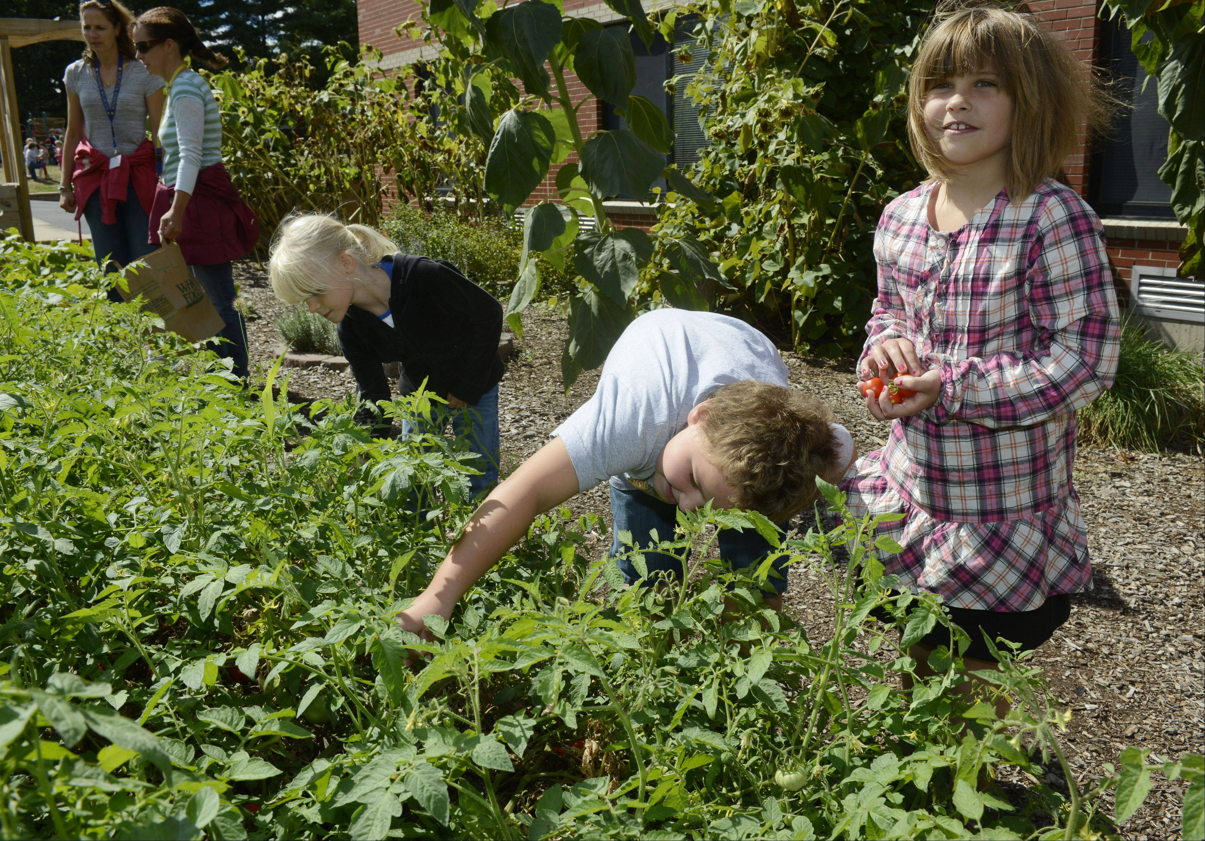 In September, students pick tomatoes from their south garden. From left, they are first grader Sophie Fransen, and second graders David Dabrowski and Katie Ruszczak.