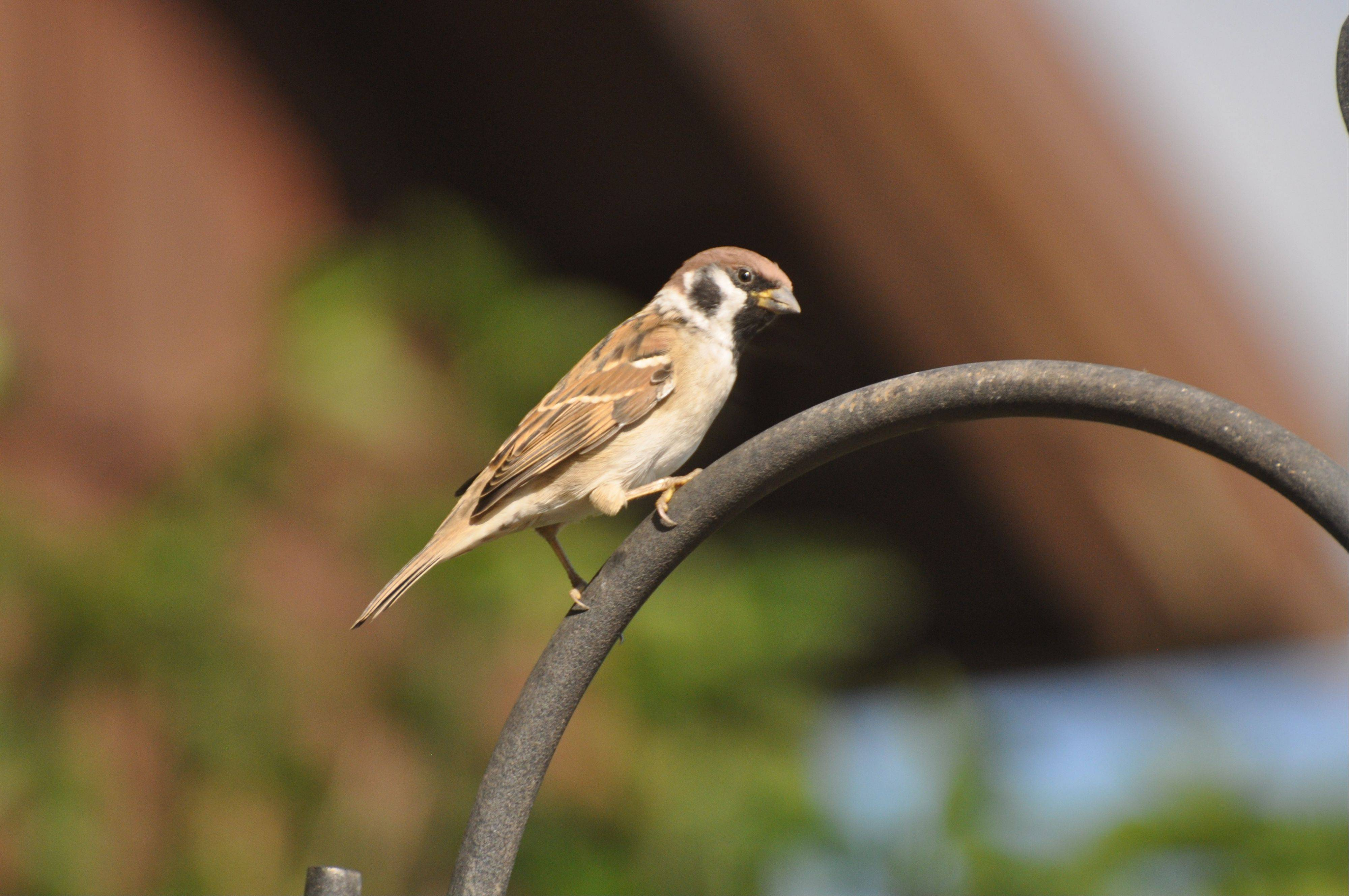 The Eurasian tree sparrow is easily distinguished from the abundant and closely related house sparrow by its smaller size, black spot on the cheek and a solid reddish-brown crown.