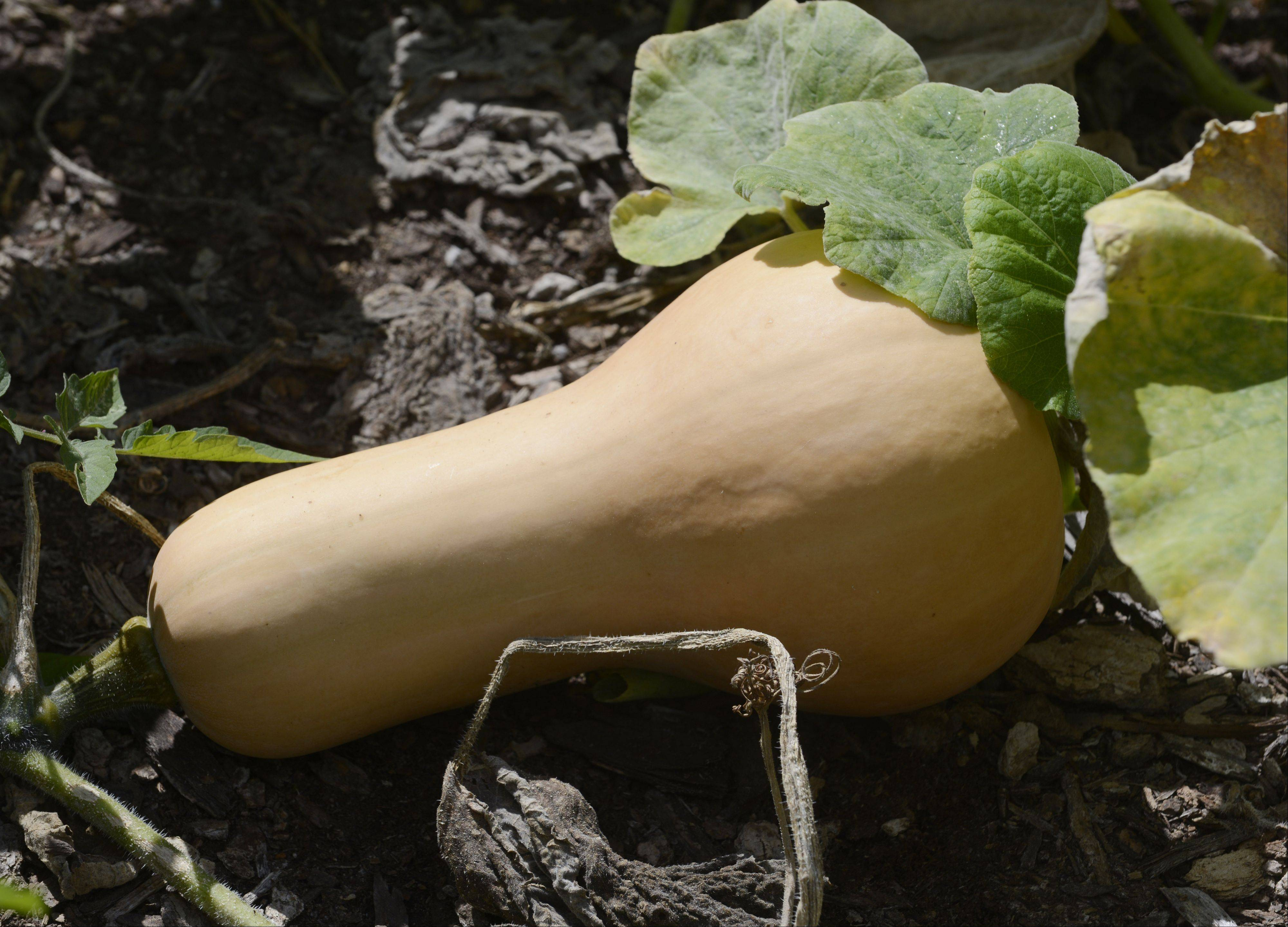 The dedication of the Windsor School families to tending the garden all summer resulted in beautiful butternut squash.
