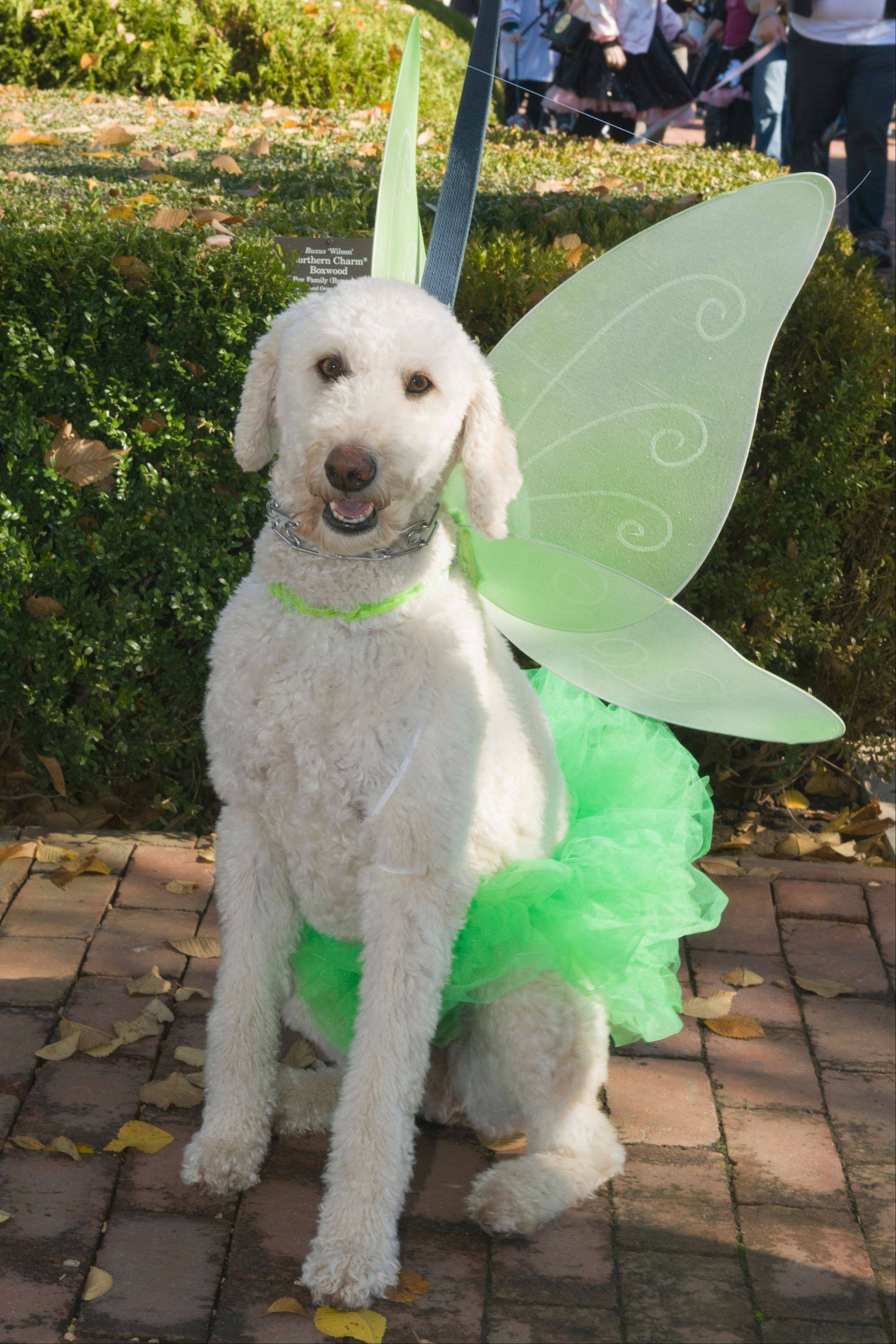 A pixie was part of the 2012 Spooky Pooch Parade at the Chicago Botanic Garden in Glencoe. Check it out this year on Saturday, Oct. 19.