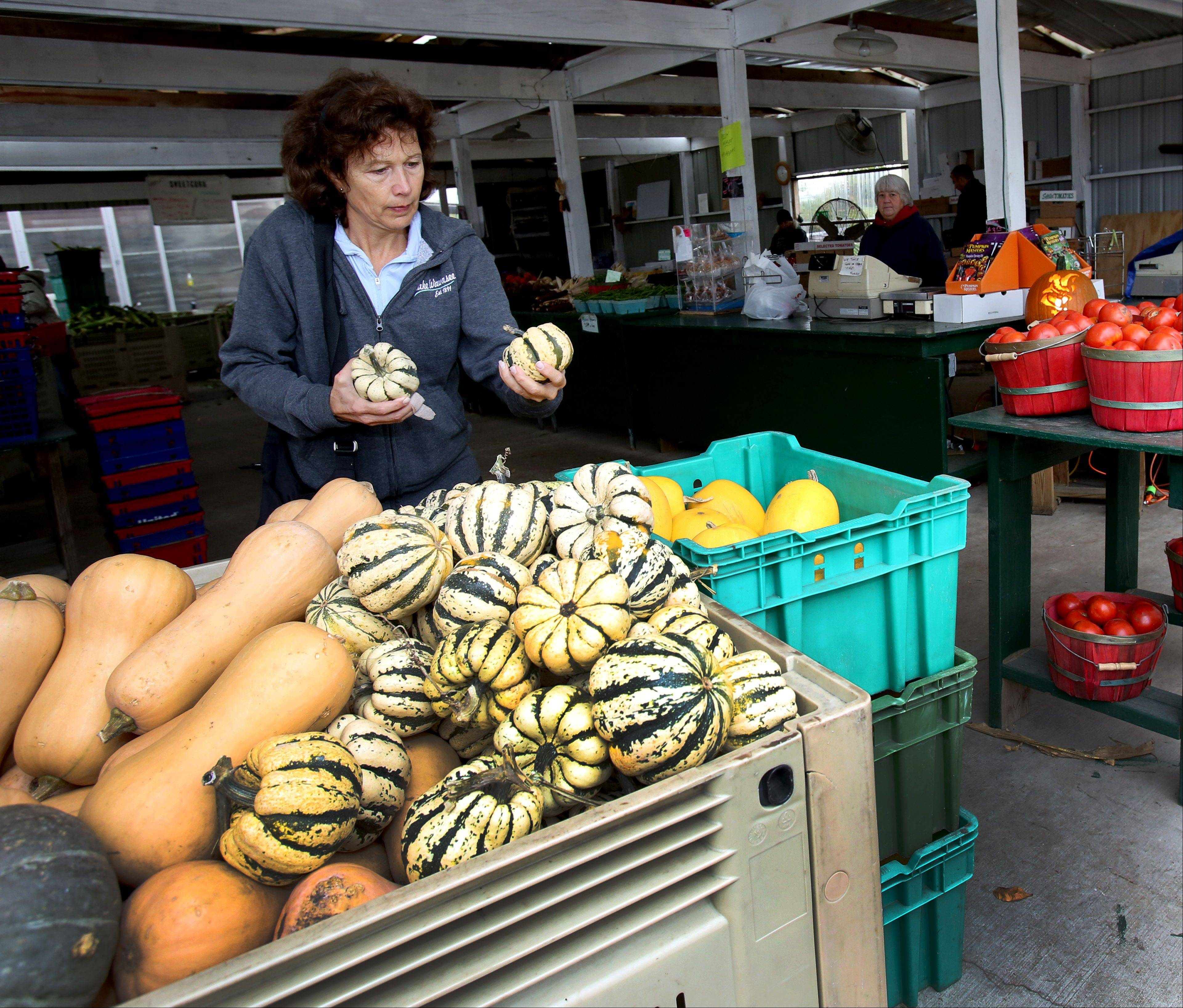Beth Shadid of Winfield picks out heart of gold squash at The Farm in Carol Stream, which is celebrating its 50th year selling fresh seasonal produce in DuPage County.