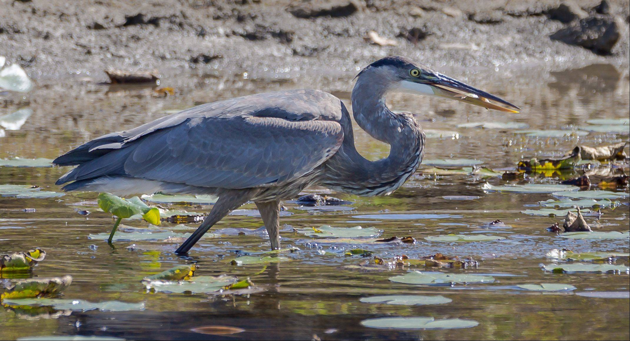 A Blue Heron caught a fish in the Grant Woods Forest Preserve in Ingleside last month.