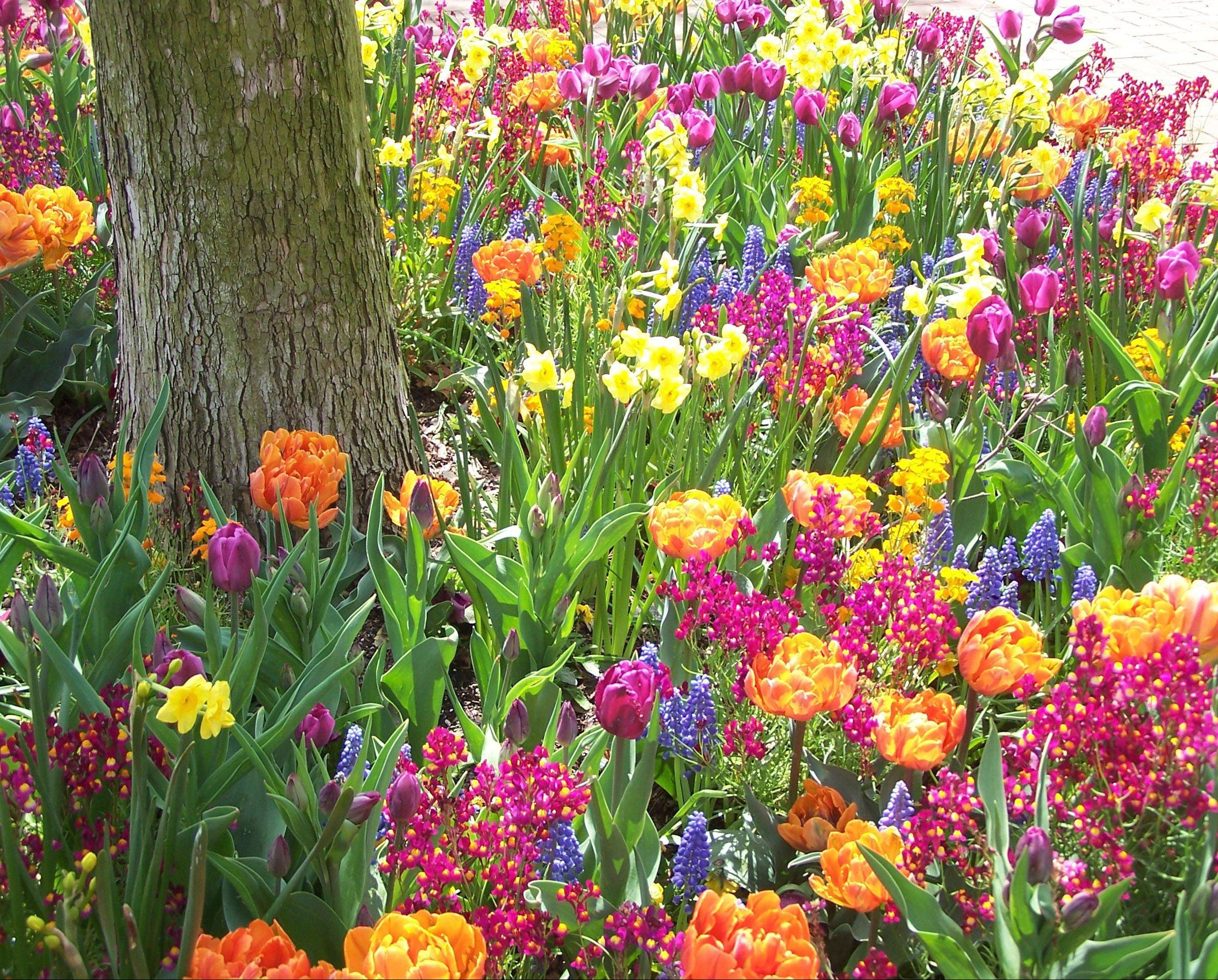Orange and purple tulips, yellow daffodils and grape hyacinths create a riot of spring color.