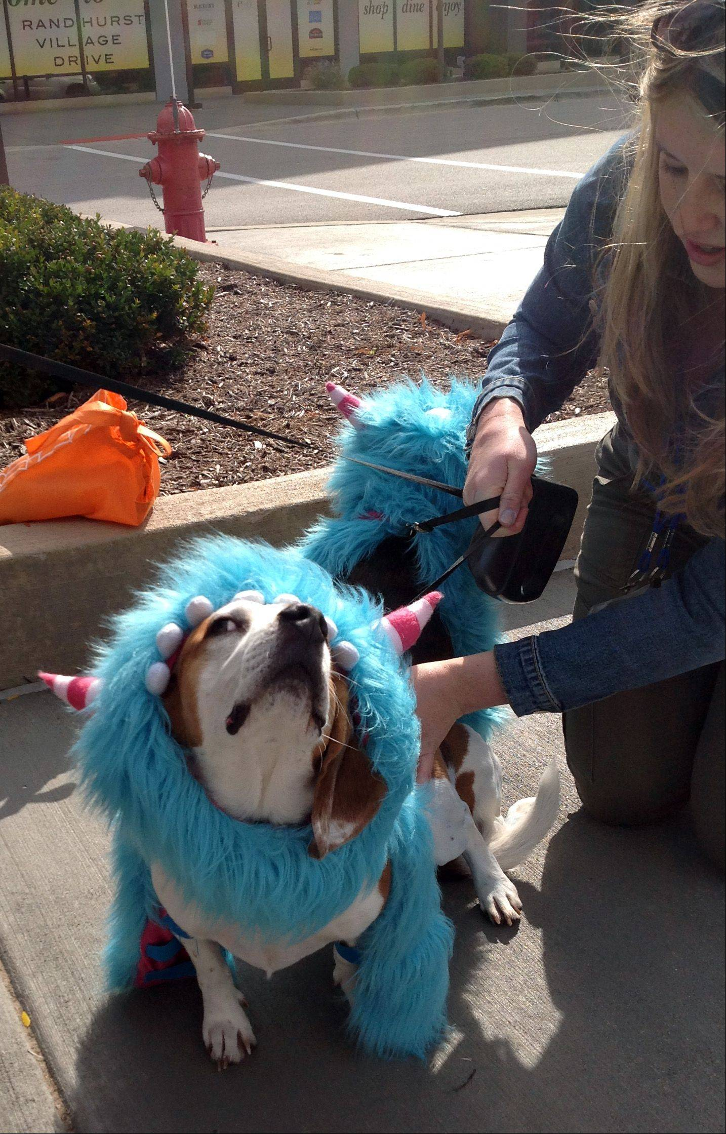 Duke, left, and Chance, two beagles from Fox River Grove, came dressed as little monsters and were the overall winners of a costumed pet parade held Saturday at Randhurst Village and sponsored by the Daily Herald. The parade kicked off the free Hoots and H�owls Halloween event.