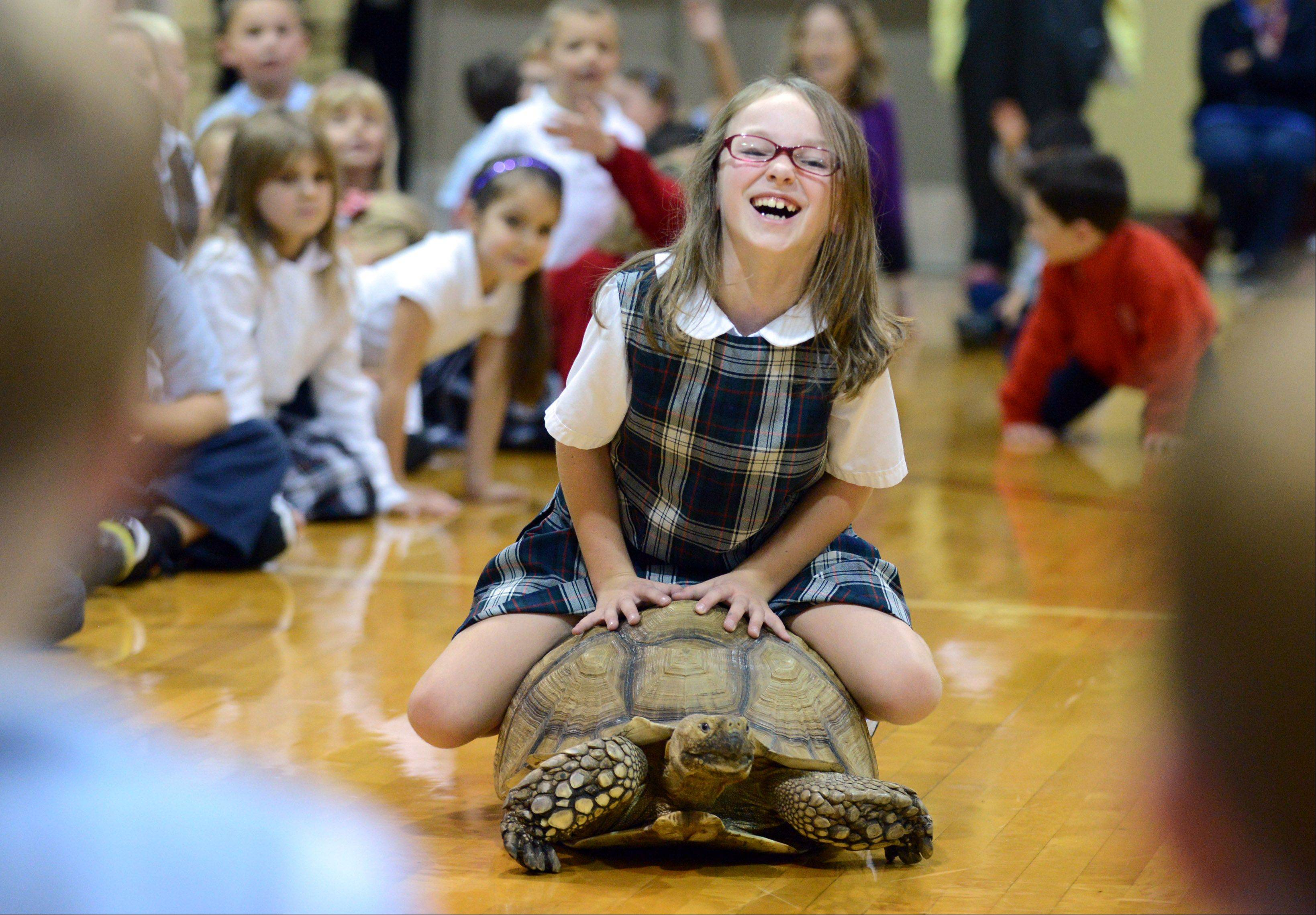 2nd-grader Emma Woodford gets to ride a tortoise during a visit from Dave Dinaso's Traveling World of Reptiles at St. Peter School in Geneva Tuesday. Kids also got to get hands on with a monitor lizard, African bullfrog, an alligator and a Burmese python during the program.