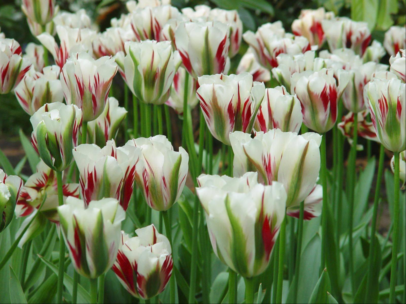 Many tulip varieties feature subtle-colored striping to the white background for more visual interest.