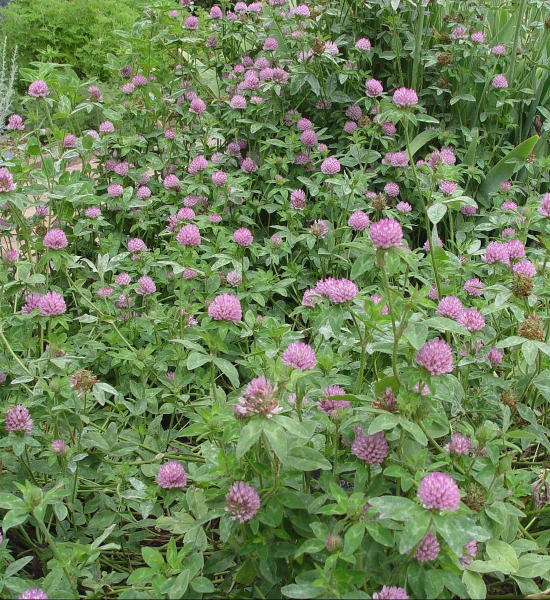 Strawberry clover is a green manure crop to improve soils, with a bonus of pink flowers that make excellent tea.