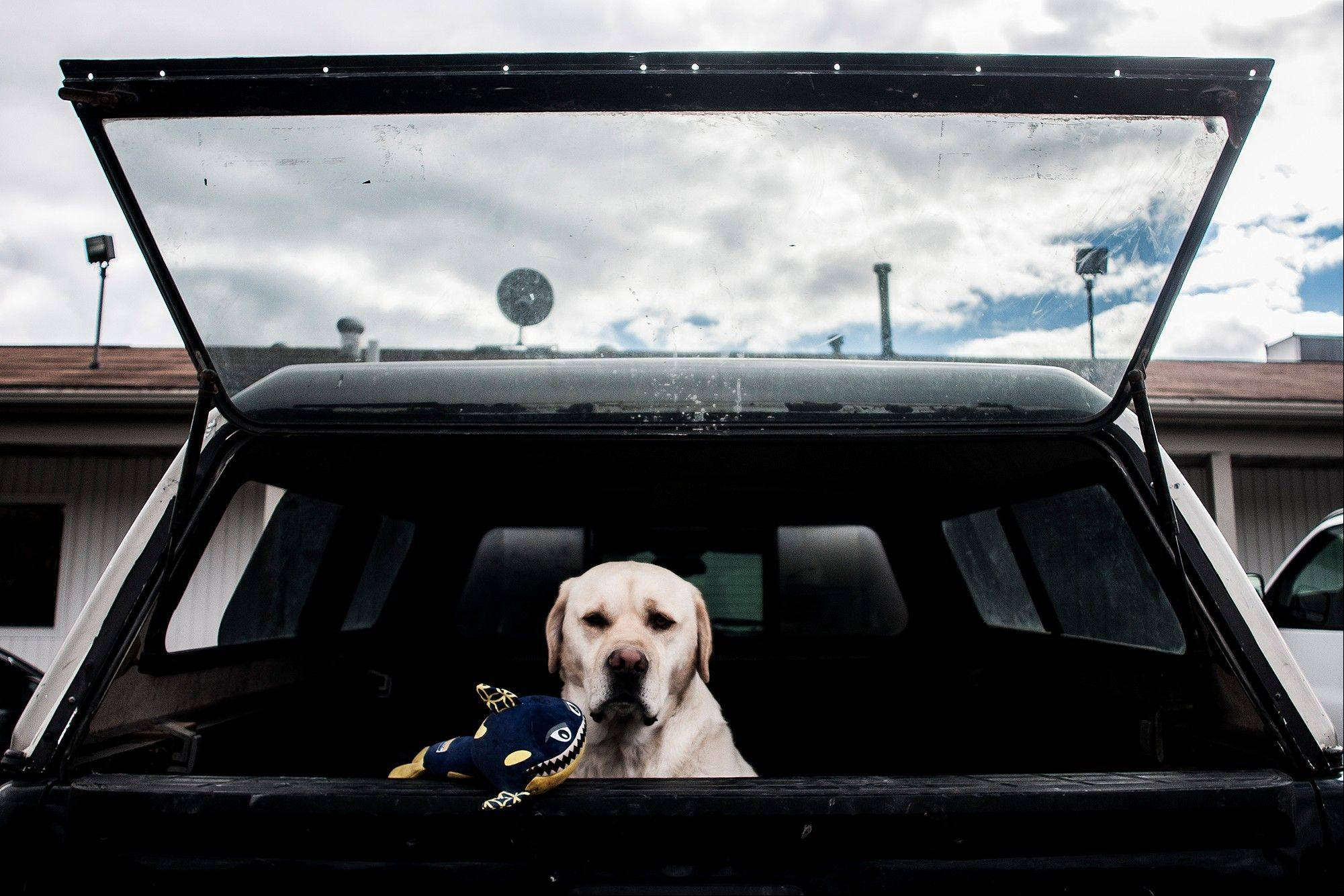 A dog sits in a car TuesdAY with a plush shark toy waiting for his owner to return in a parking lot in Richfield Township, Mich.