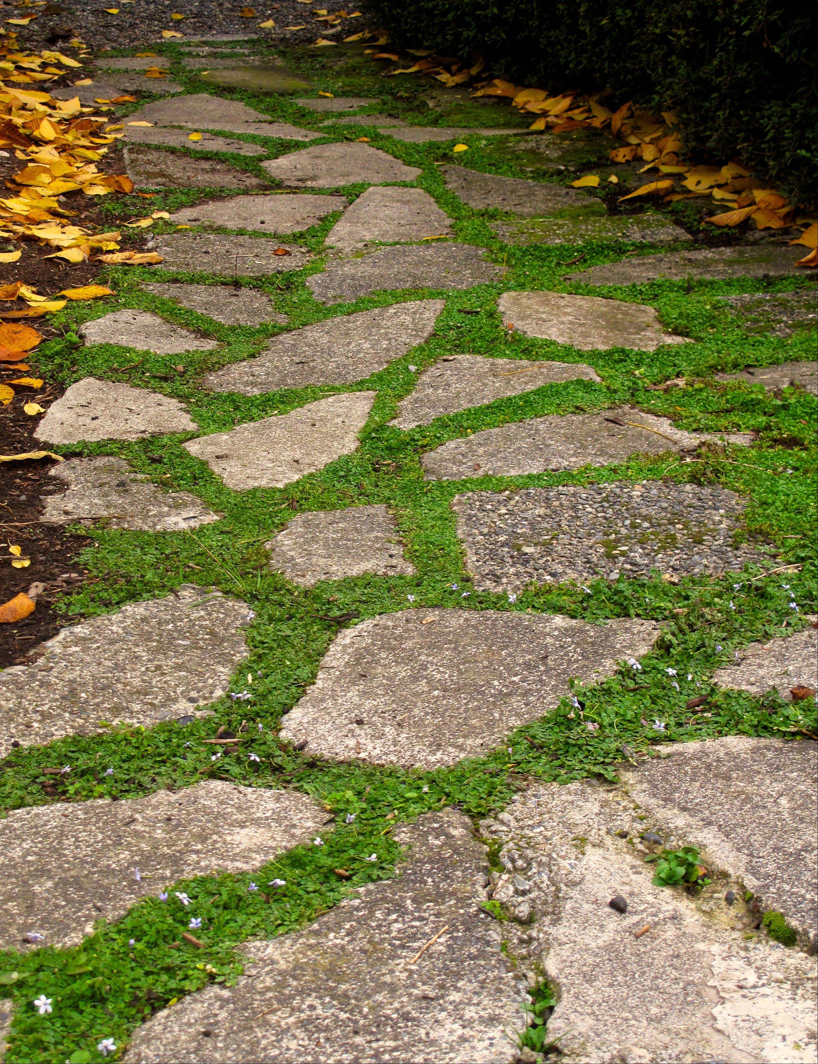 Several flats of potted, walk-on plants are laid out alongside the flagstones of a pathway in Langley, Wash. The plants are divided into several pieces before being placed in the ground, where they grow quickly into a single, weed-choking mat that adds color and contrast to the stones.