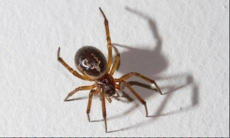 False widow spiders are commonly mistaken for their relative, the black widow spider, whose bite can be fatal.