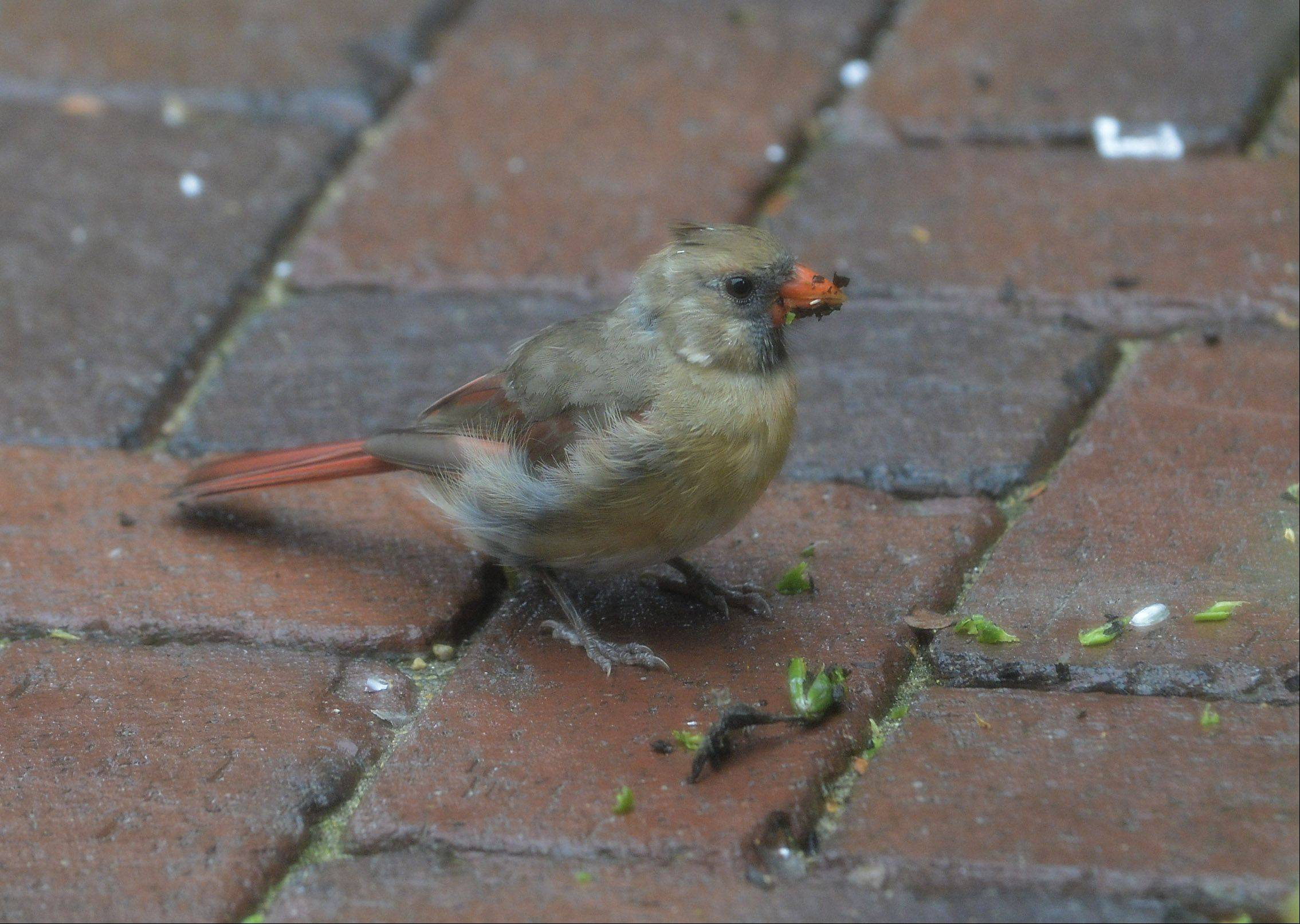 A young cardinal dines on a breakfast of seeds on the patio of an Arlington Heights home. A sibling was nearby, and a male cardinal was watching over the youngsters from a perch on the seat wall of the patio.