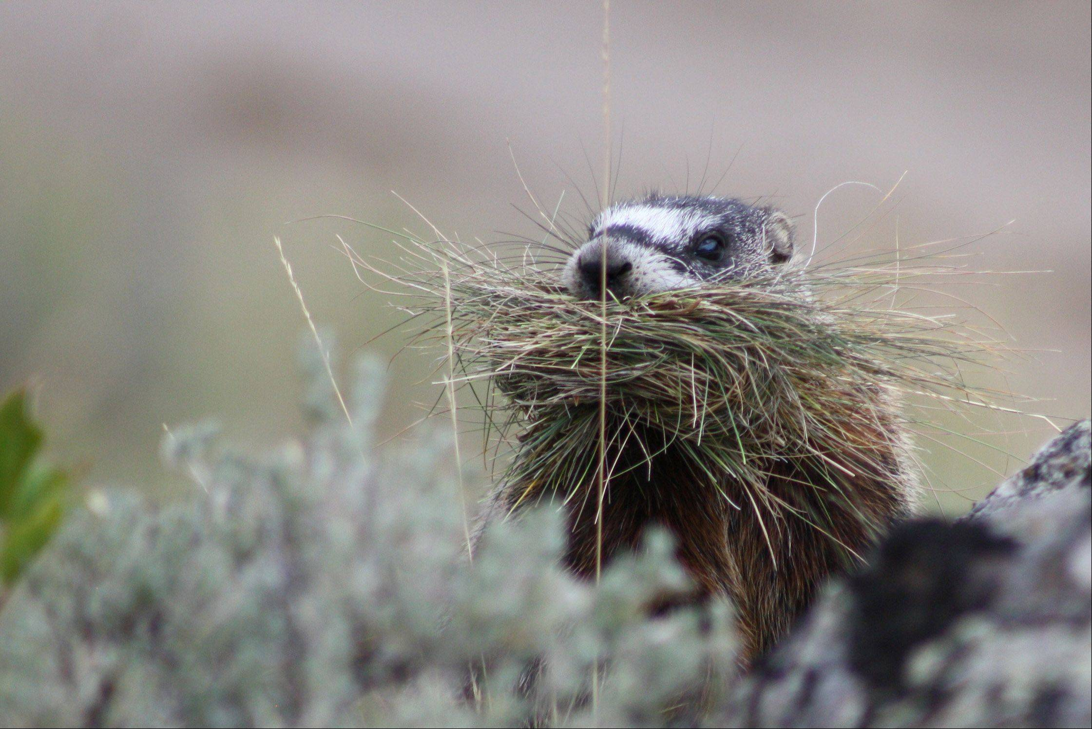 A marmot builds a nest in Yellowstone National Park in Wyoming.